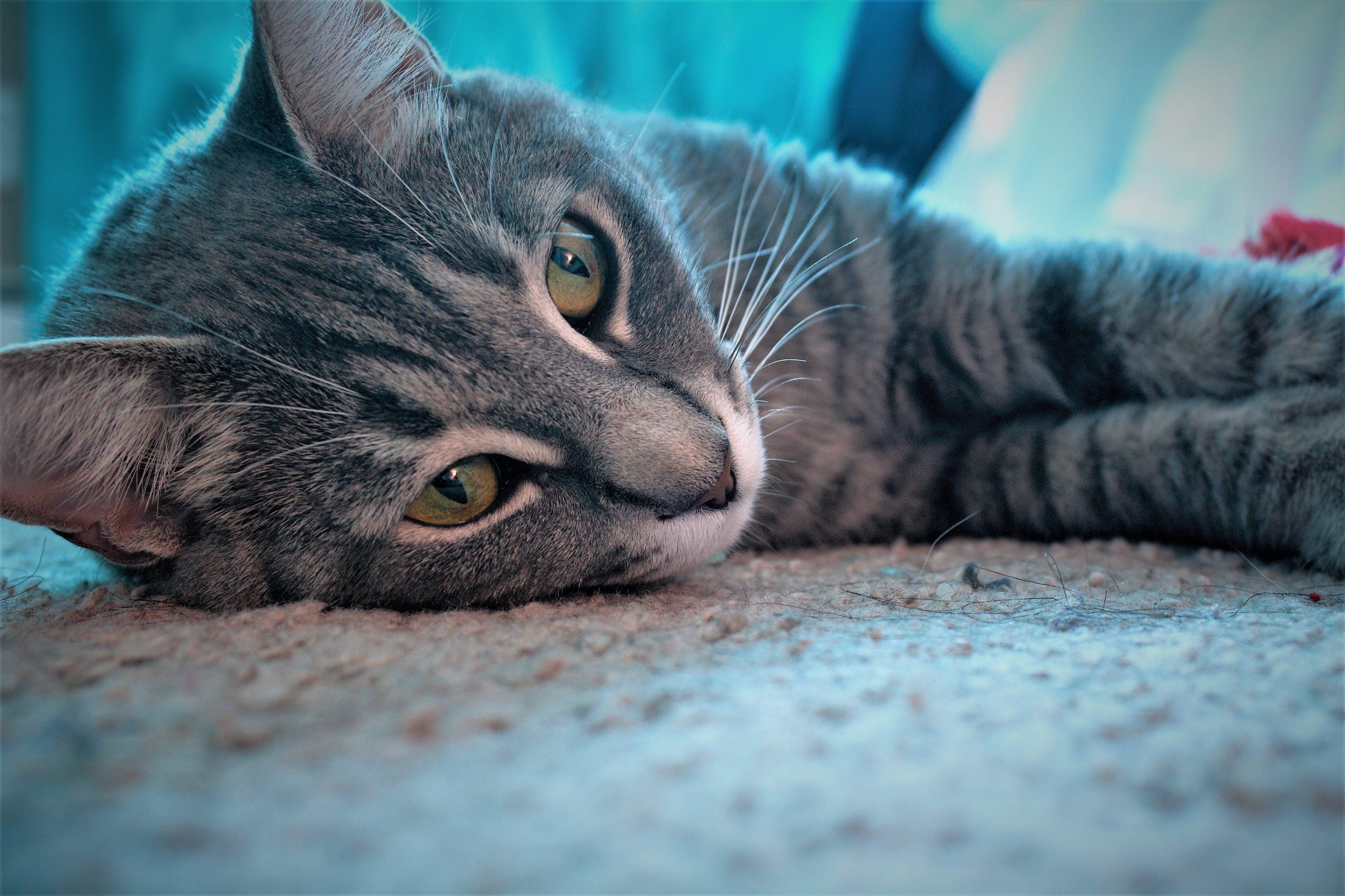 Free stock photo of cat, gray cat, grey cat, kitten