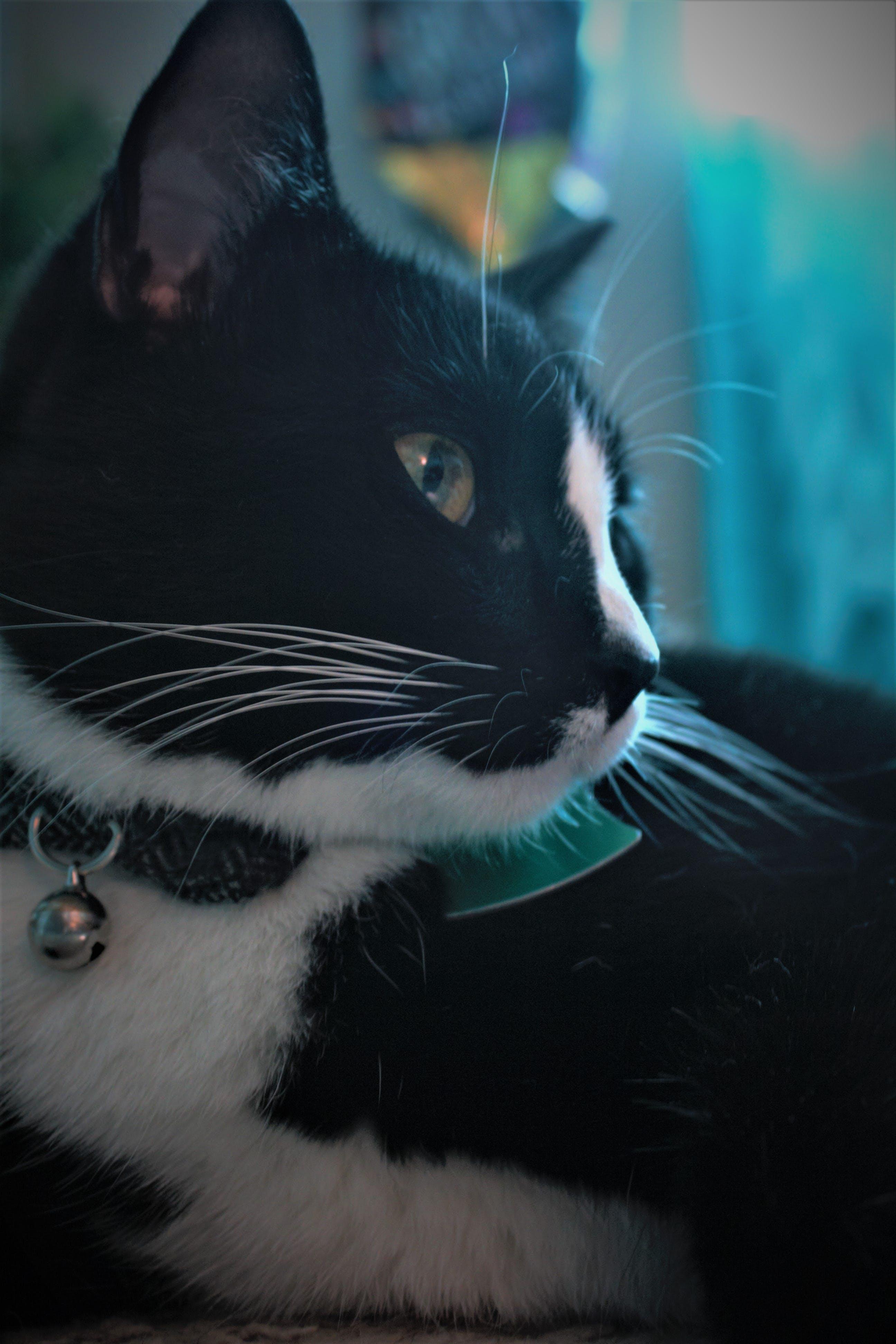 Free stock photo of black and white, cat, kitten, male cat