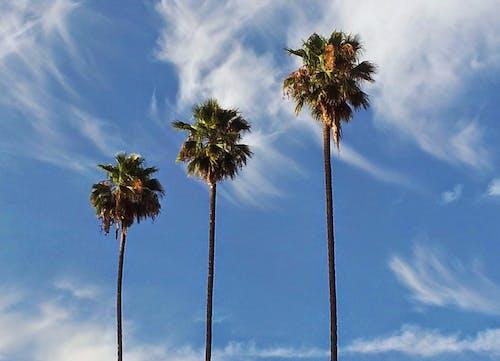 Free stock photo of blue sky, los angeles, palm trees