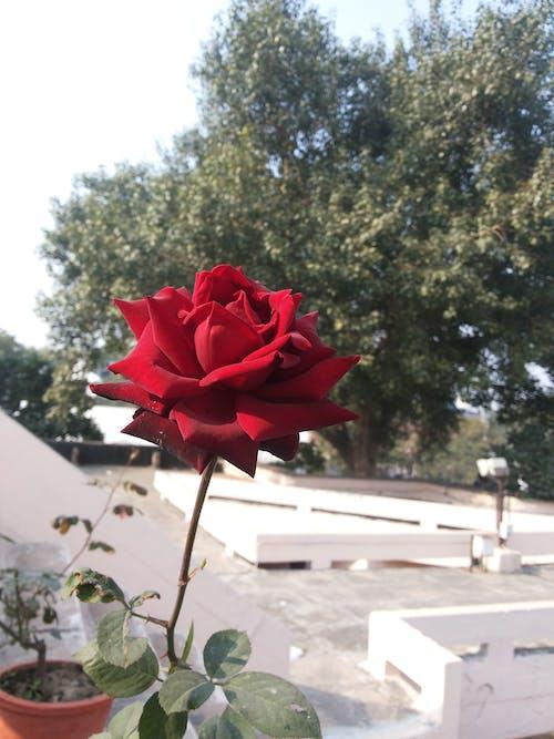 Free stock photo of beautiful flower, beautiful flowers, beautiful rose
