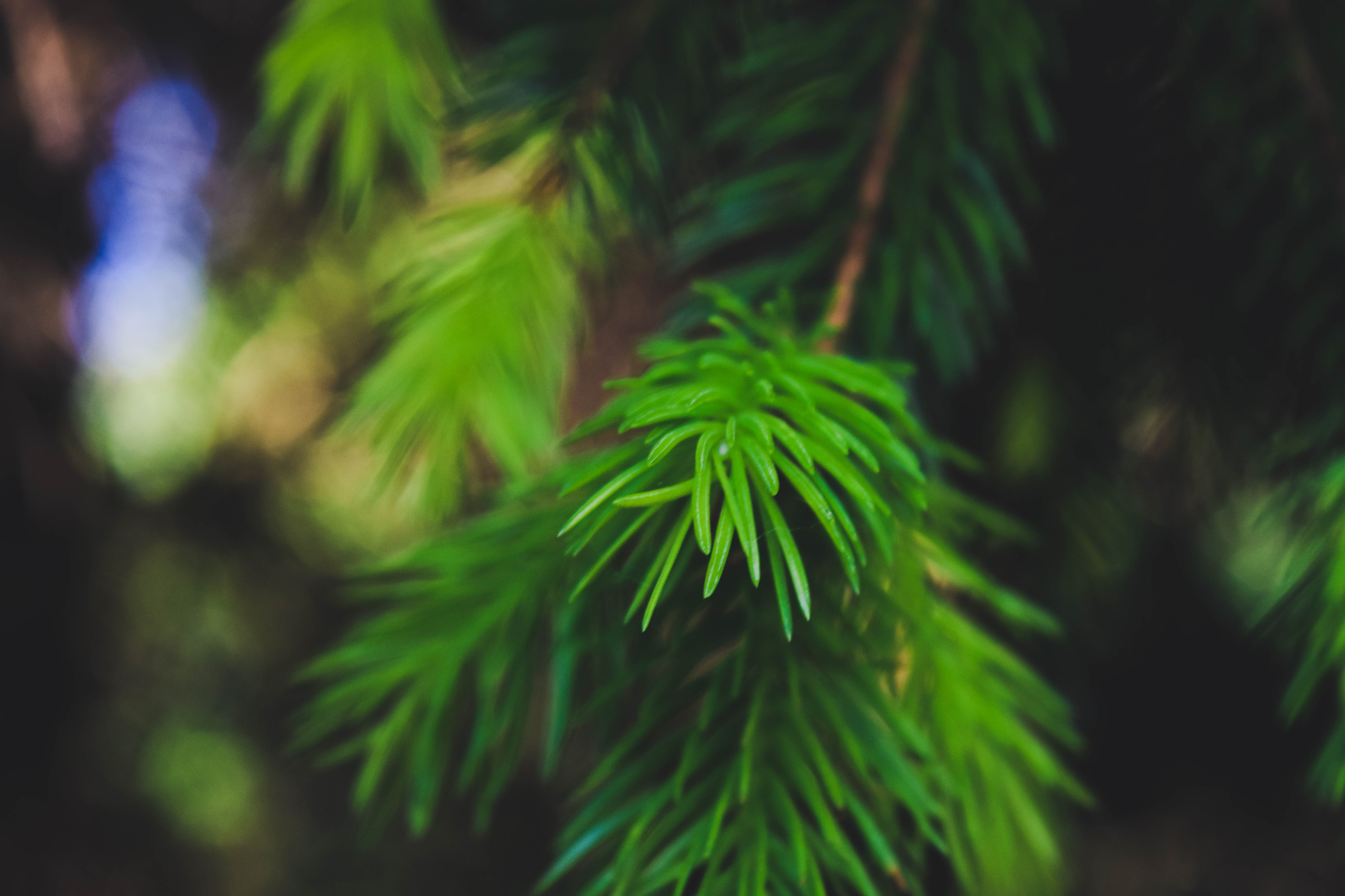 Free stock photo of coniferous tree, contrast, green, nature