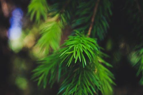 Imagine de stoc gratuită din arbore, centrale, conifer, contrast