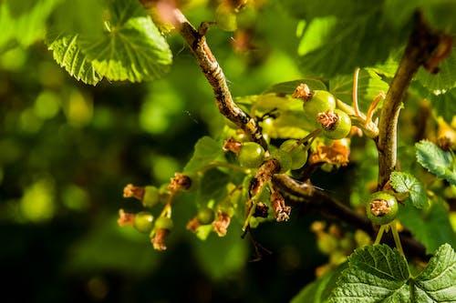 Imagine de stoc gratuită din coacăz verde, coacăze, contrast, natură