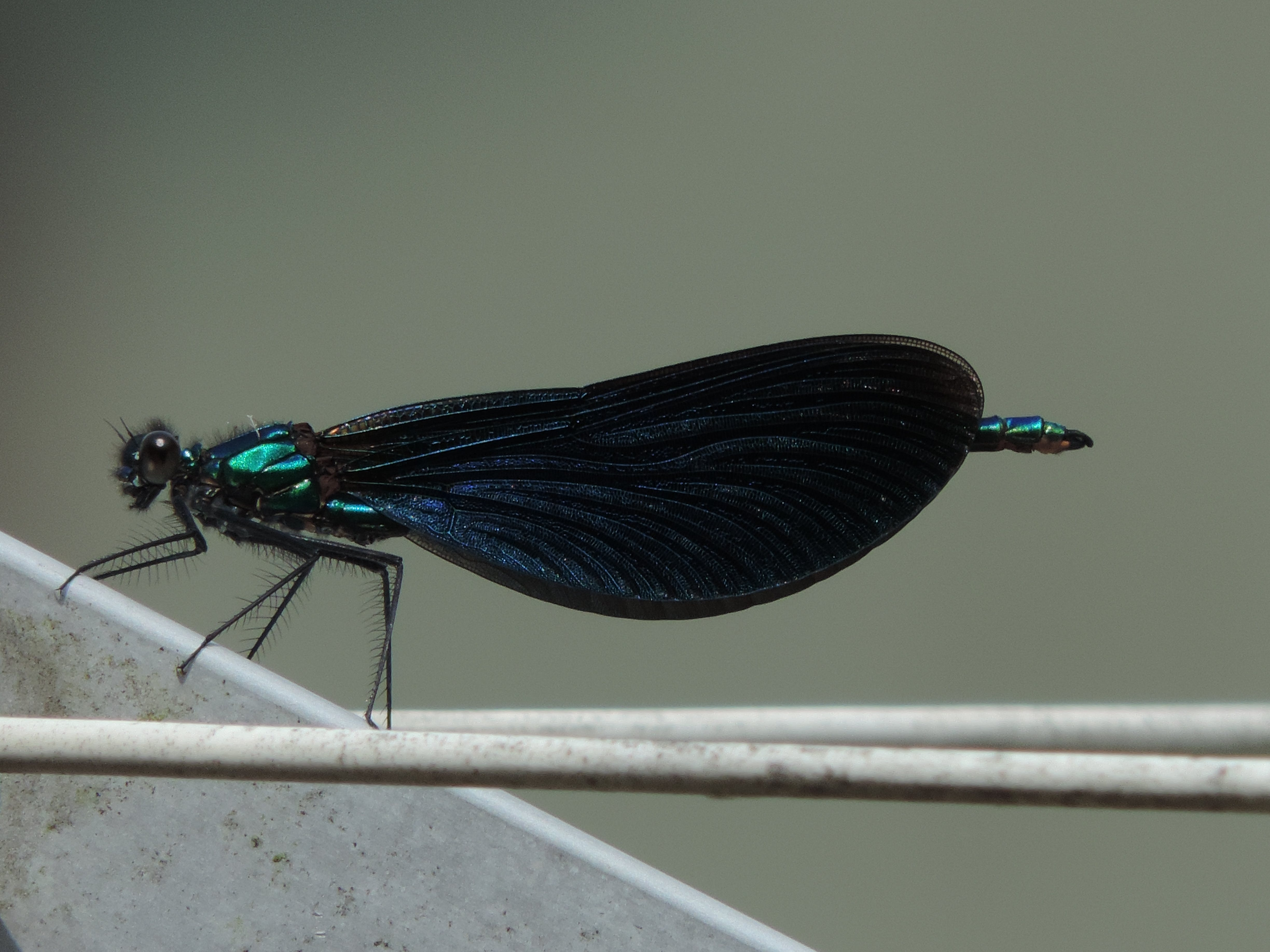Free stock photo of black, blue, dragonflies, dragonfly