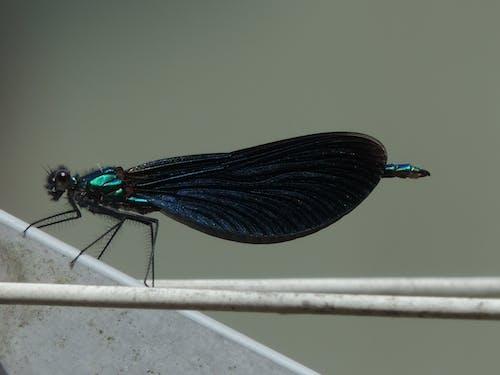 Fotos de stock gratuitas de azul, insecto, libélula, libélulas