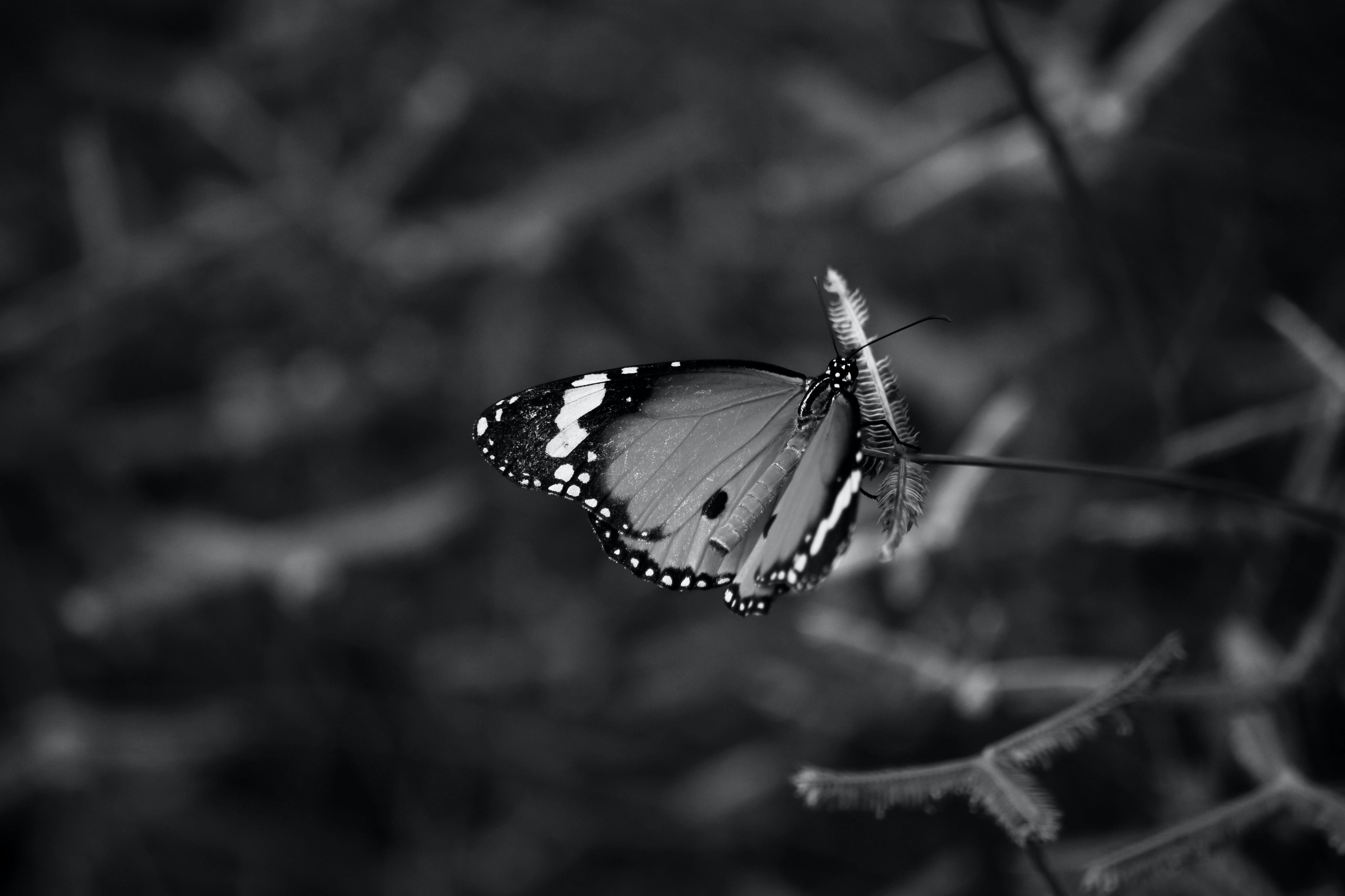 Greyscale Photo of Queen Butterfly on Flower