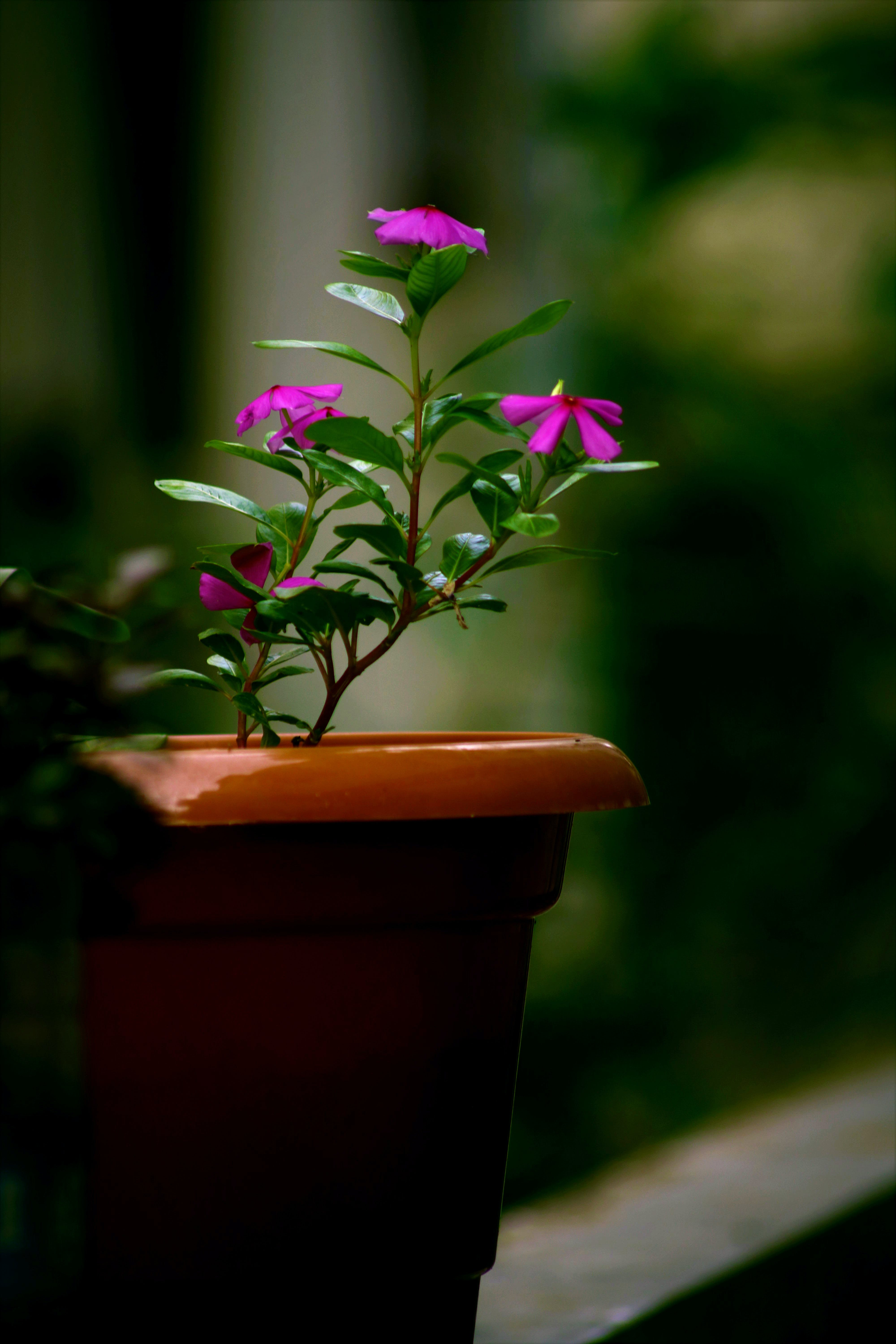 Shallow Focus Photography of Pink Flower Plant With Brown Pot