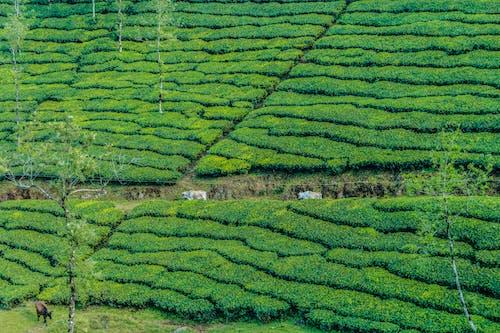 Ilmainen kuvapankkikuva tunnisteilla HD-taustakuva, lehmä, luonnollinen, luontotaustakuva