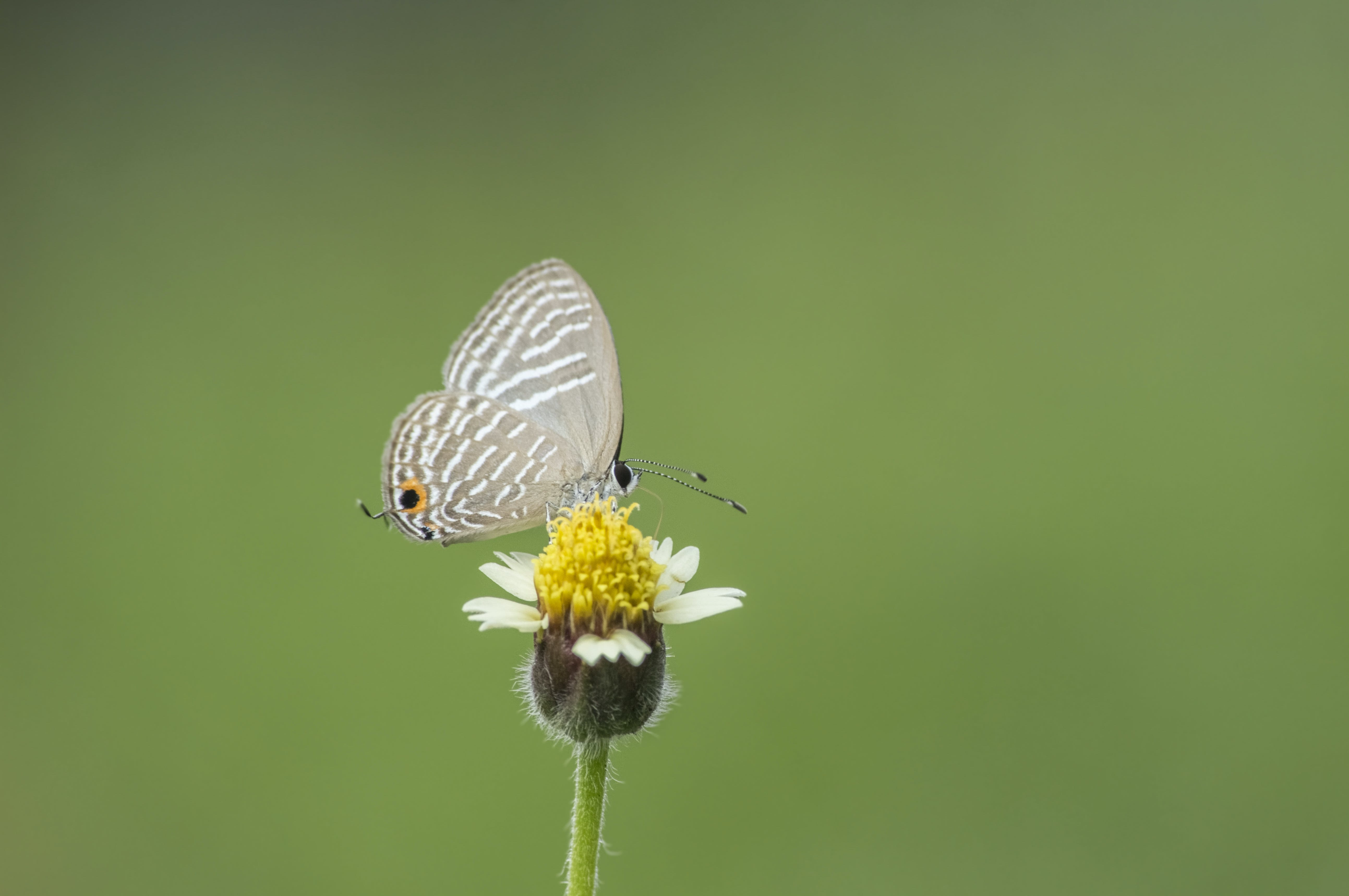 Free stock photo of butterfly, butterfly on a flower, Dark Caerulean, small butterfly
