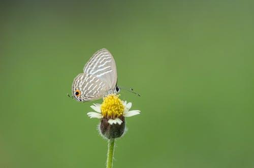 Ilmainen kuvapankkikuva tunnisteilla dark caerulean, perhonen, perhonen kukassa, pieni perhonen