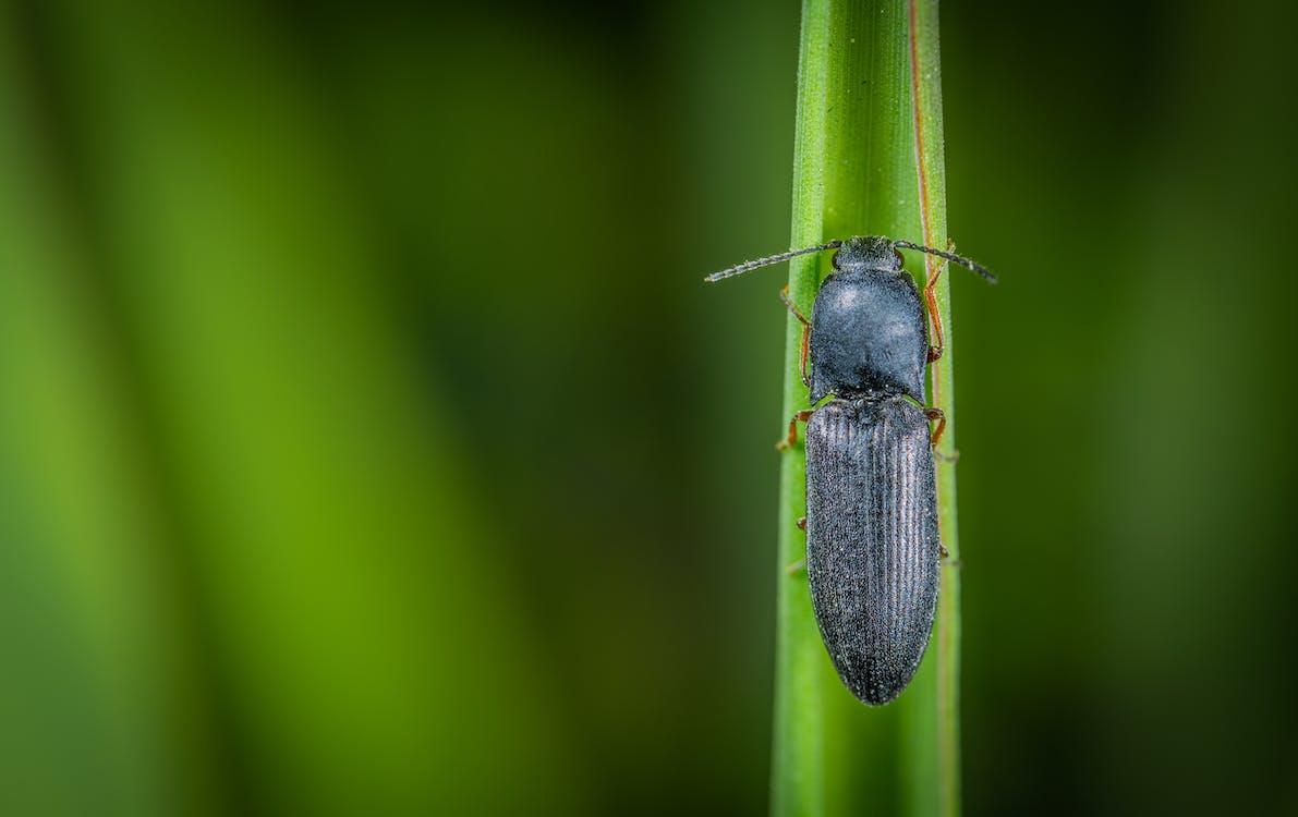 Macro Photo of Black Common Ground Beetle