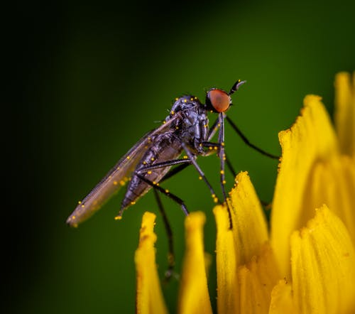 Macro Photo of Black and Red Robber Fly