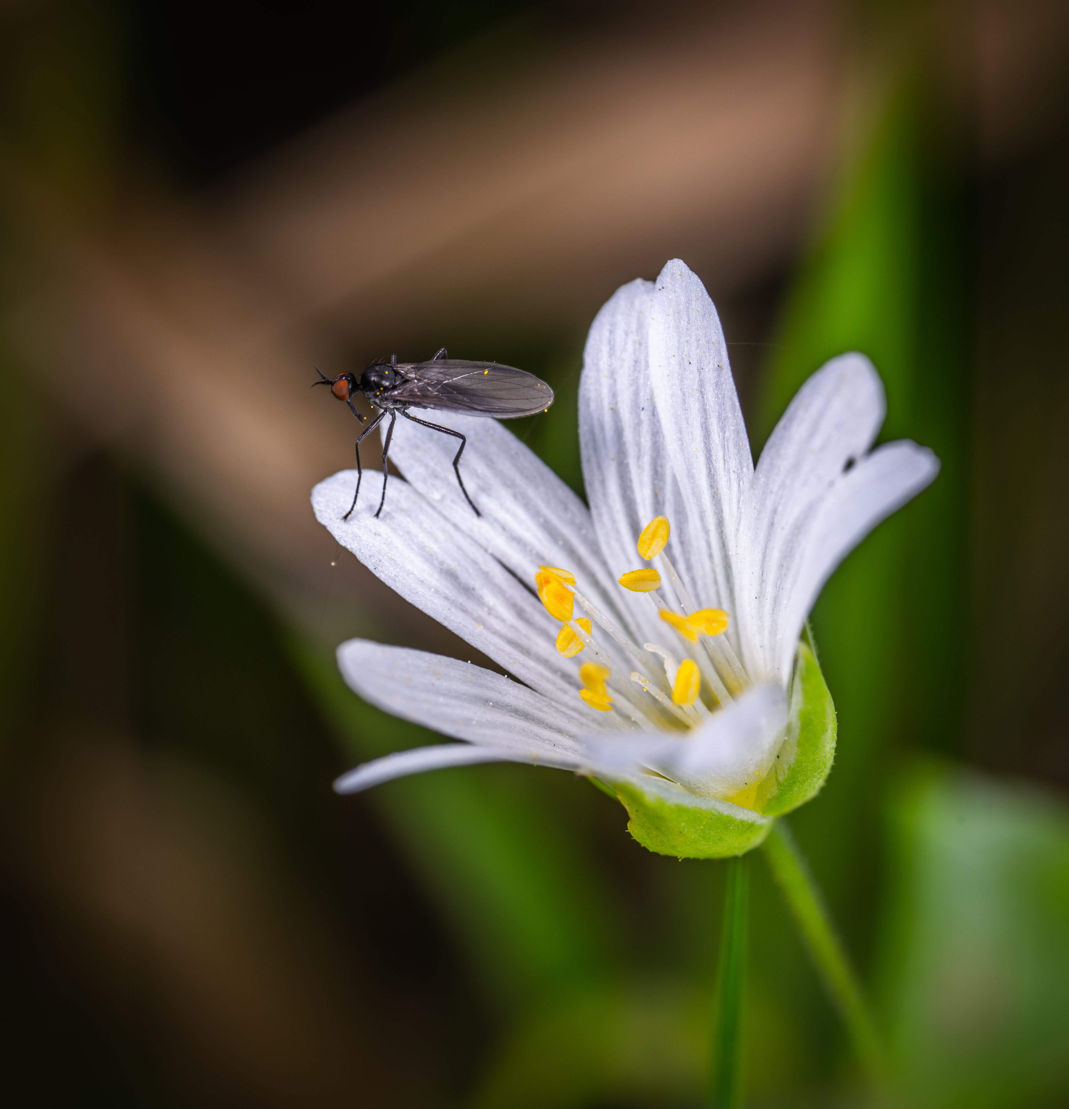 Black Fly on White Clustered Flower