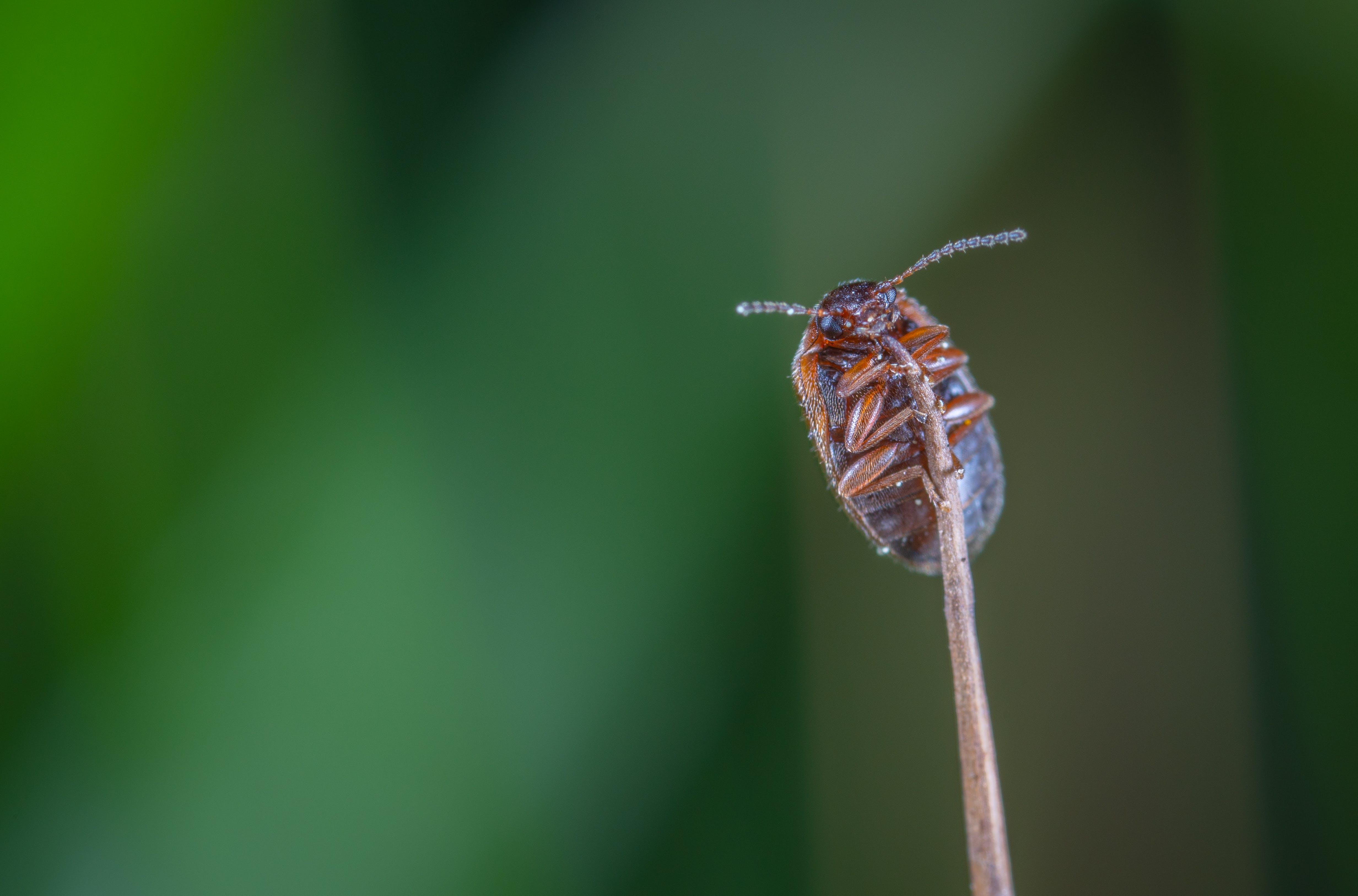 Macro Photo of Brown Beetle on Brown Stem