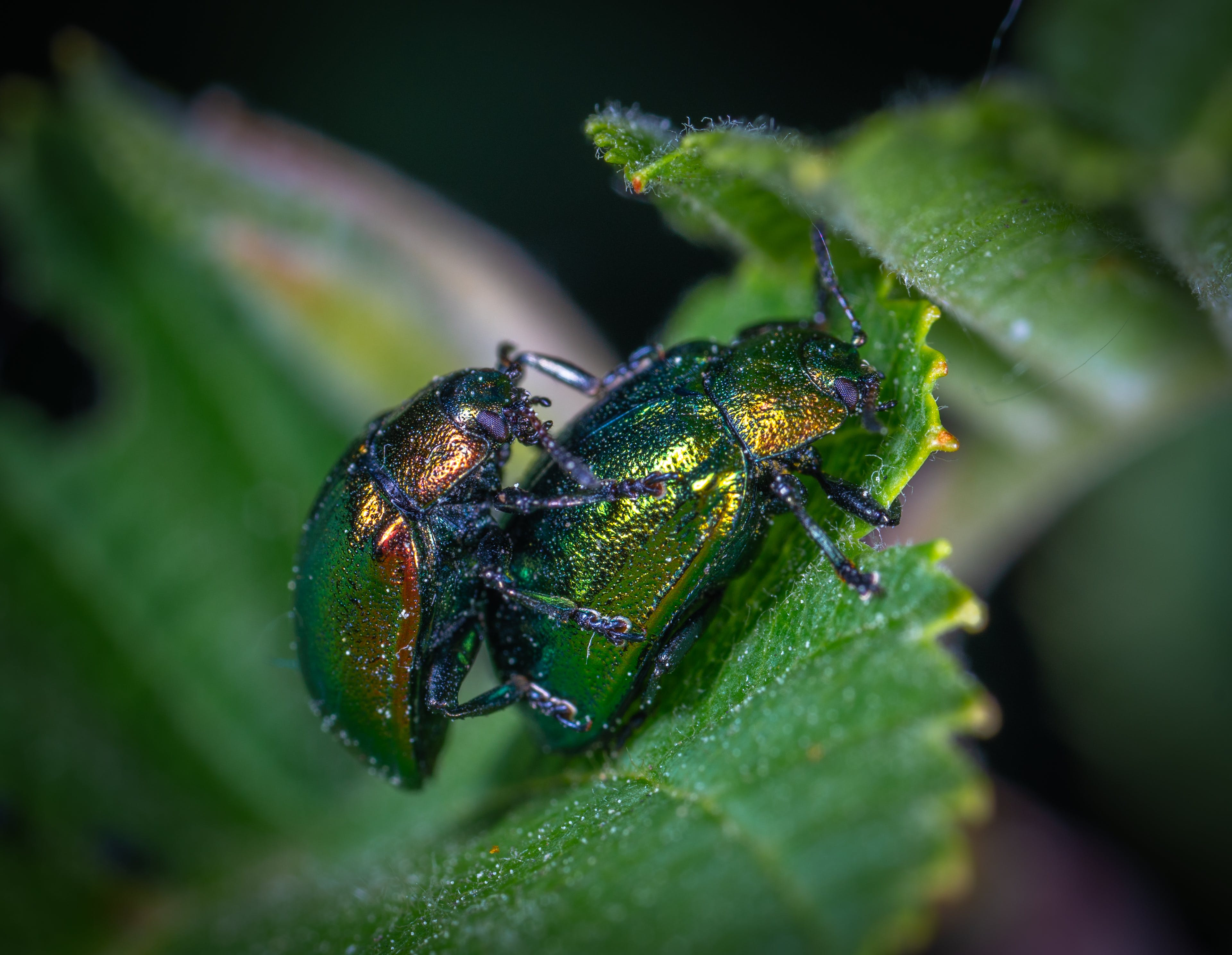 Two Green Beetles on Leaf