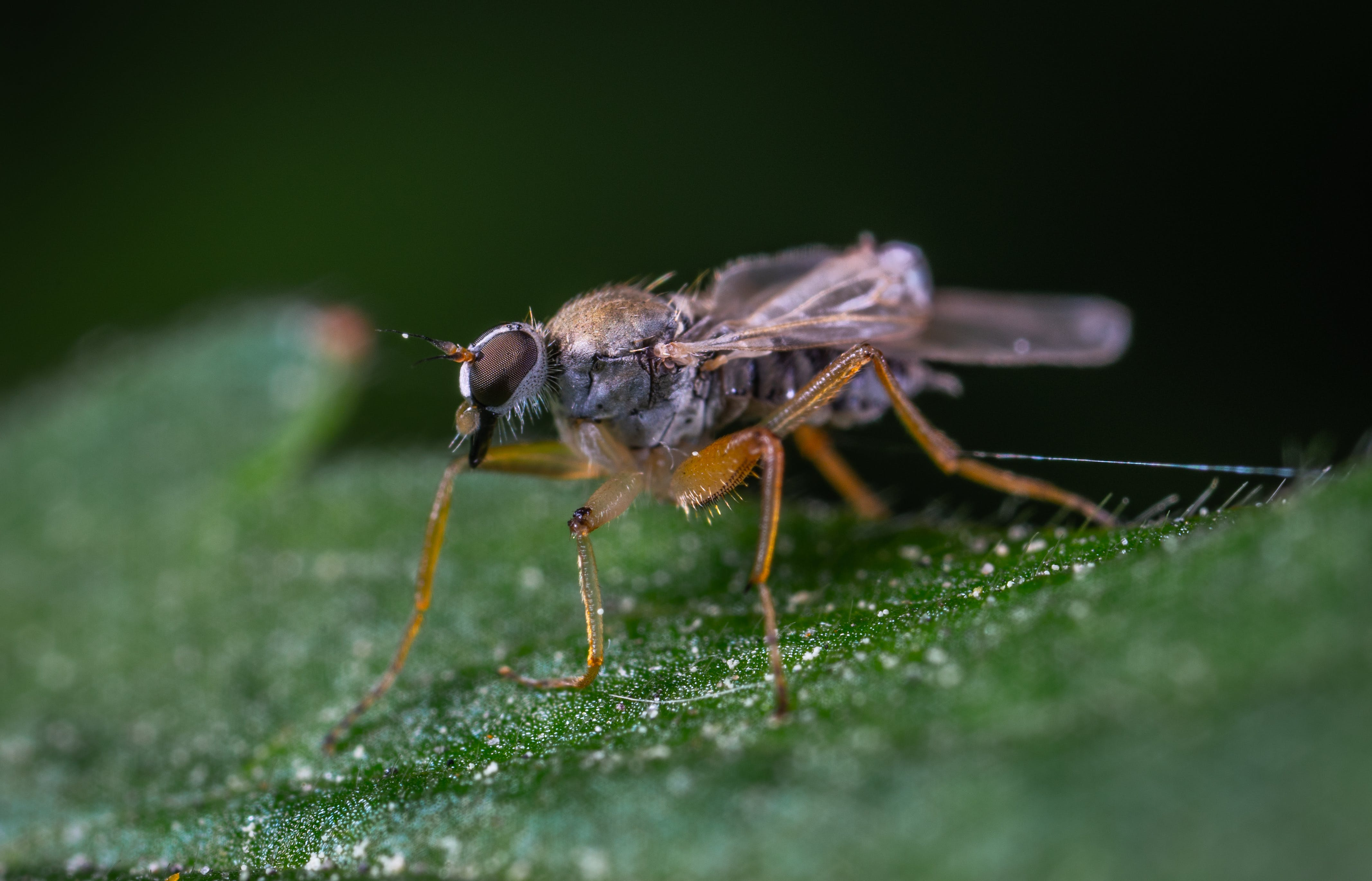 Brown Hoverfly on Green Leaf