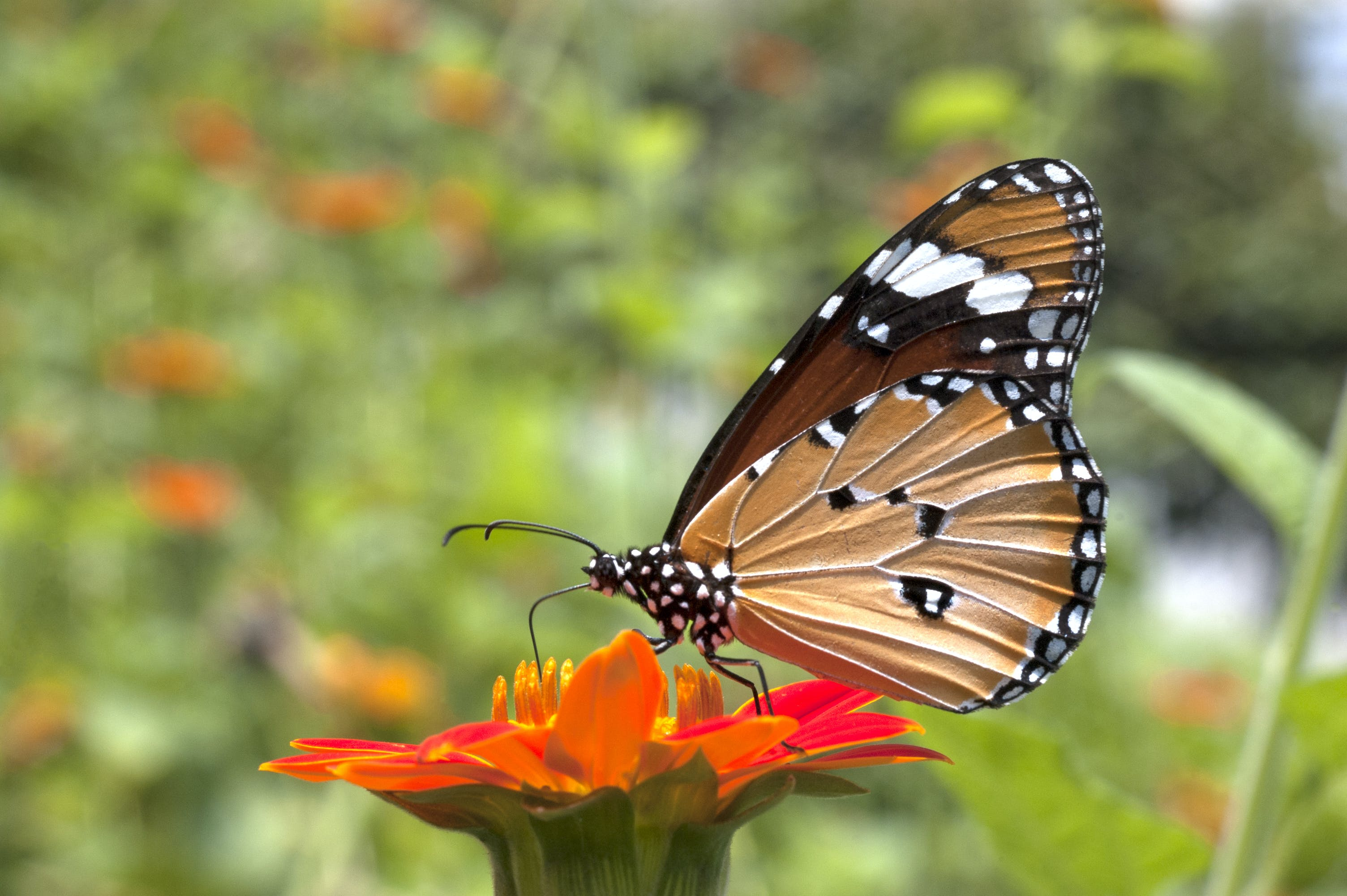 Free stock photo of butterfly, monarch butterfly