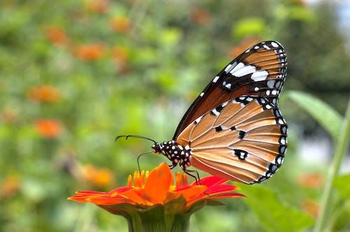 Ingyenes stockfotó pillangó, Pompás királylepke témában