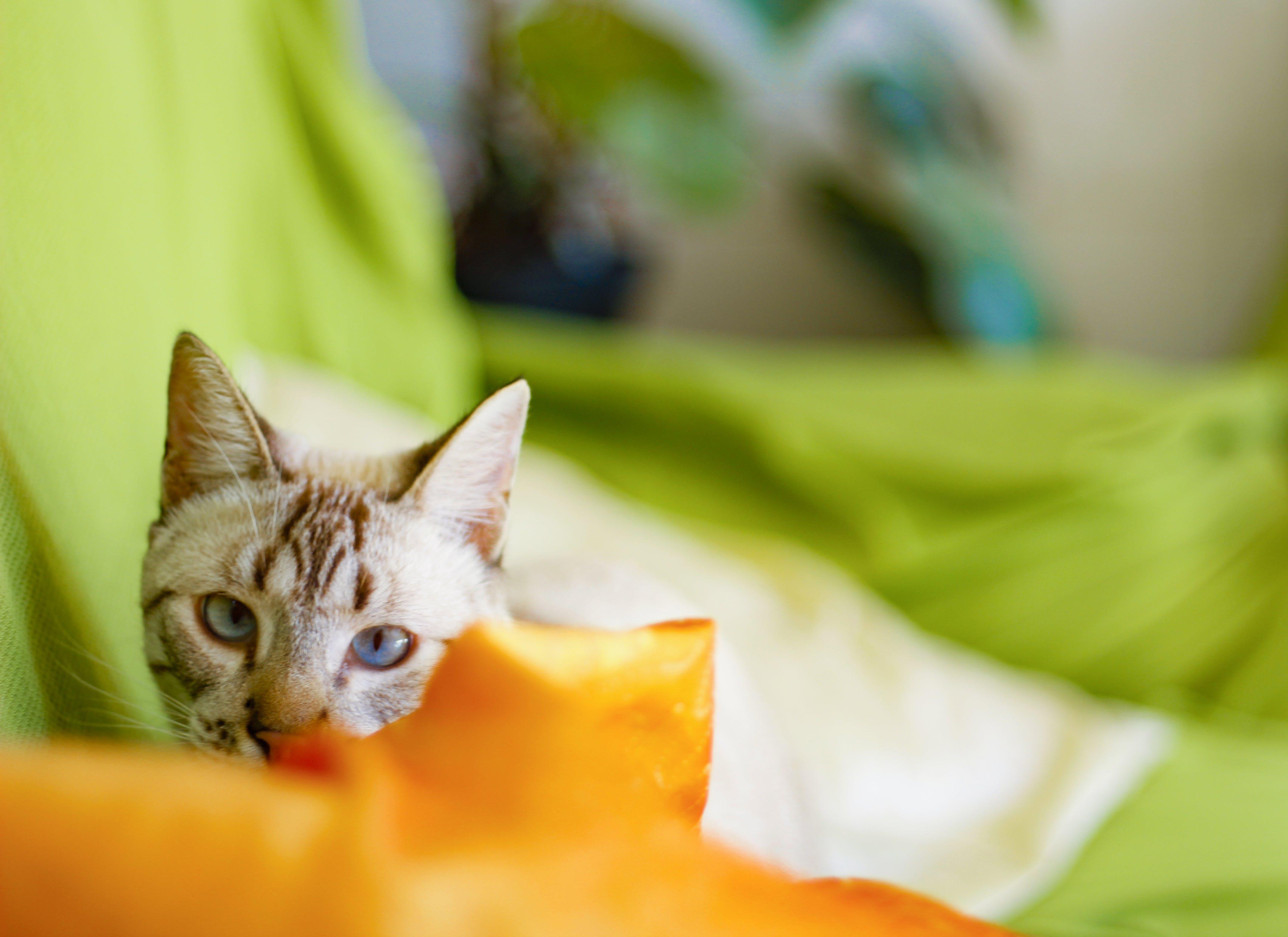 Free stock photo of #cat, #pet, #kitty, #petlover