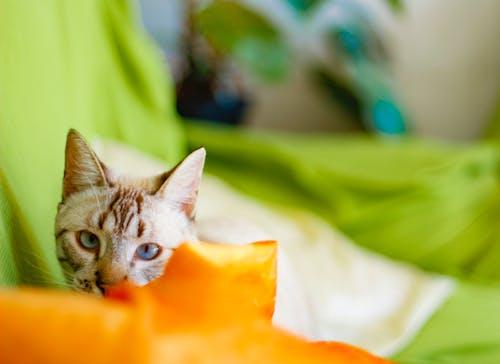Photos gratuites de #amoureux des animaux de compagnie, #animal de compagnie, #chat, #minou