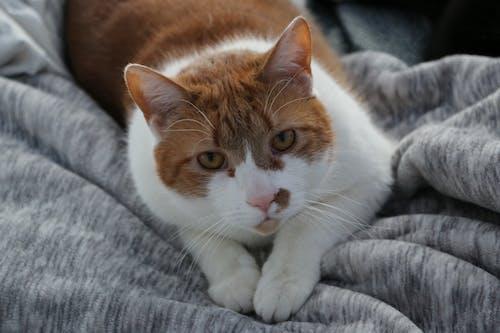 オレンジ色の猫, ネコ, ペットの無料の写真素材