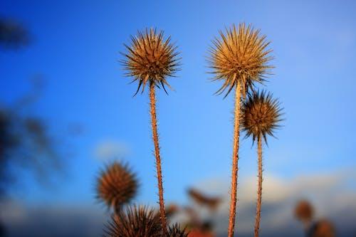 Immagine gratuita di azzurro, fiore, permaloso, secco