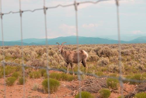 ニューメキシコ州, やぎ, リオグランデ渓谷の無料の写真素材