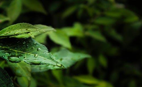 H2O, 滴, 綠色, 露 的 免費圖庫相片