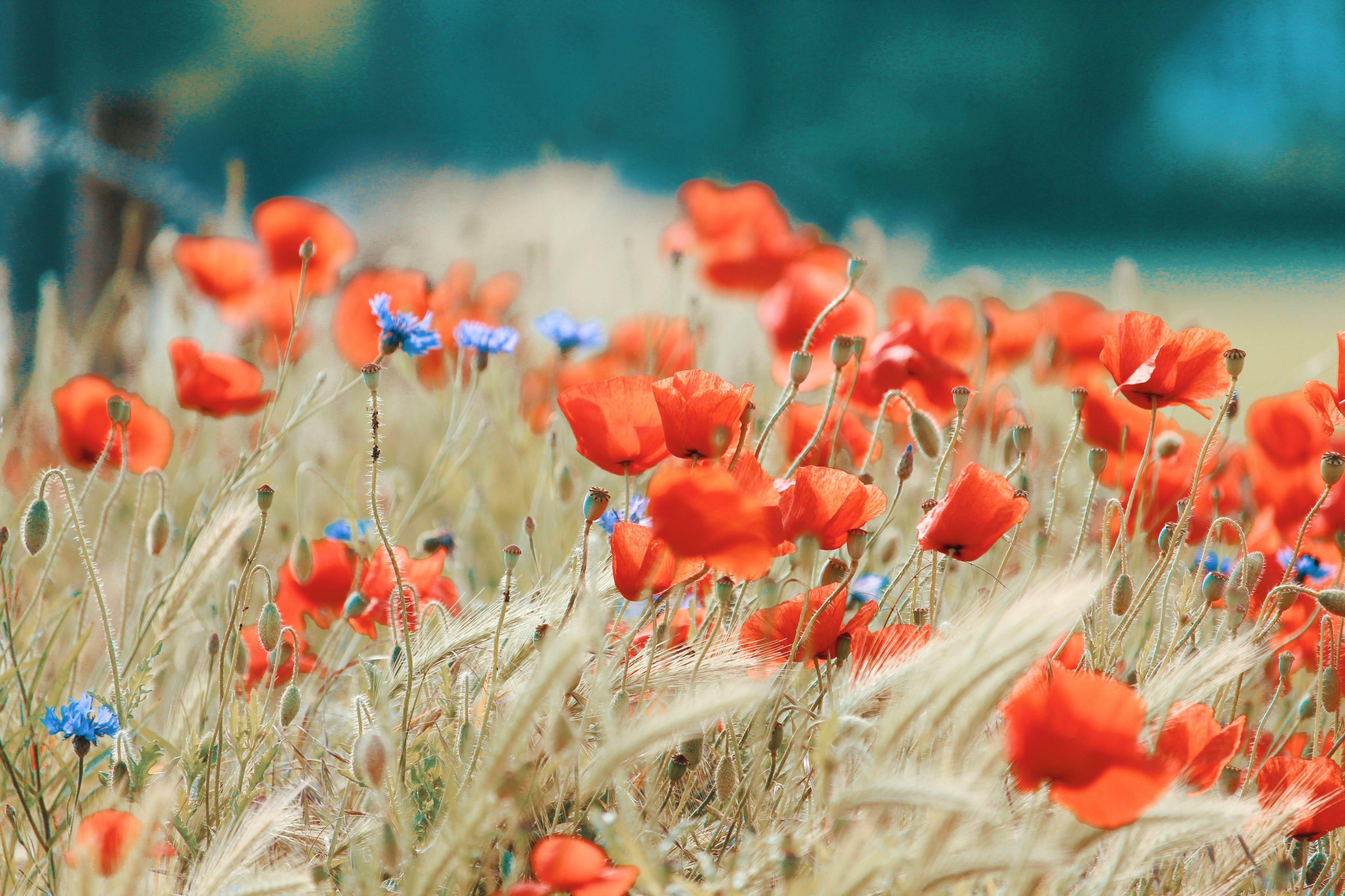 berkembang, bidang, bunga