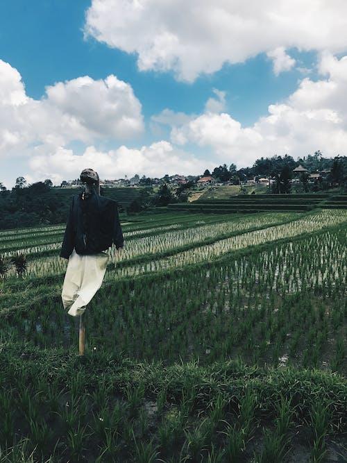 Ảnh lưu trữ miễn phí về bù nhìn, cánh đồng lúa, Indonesia, màu xanh lá
