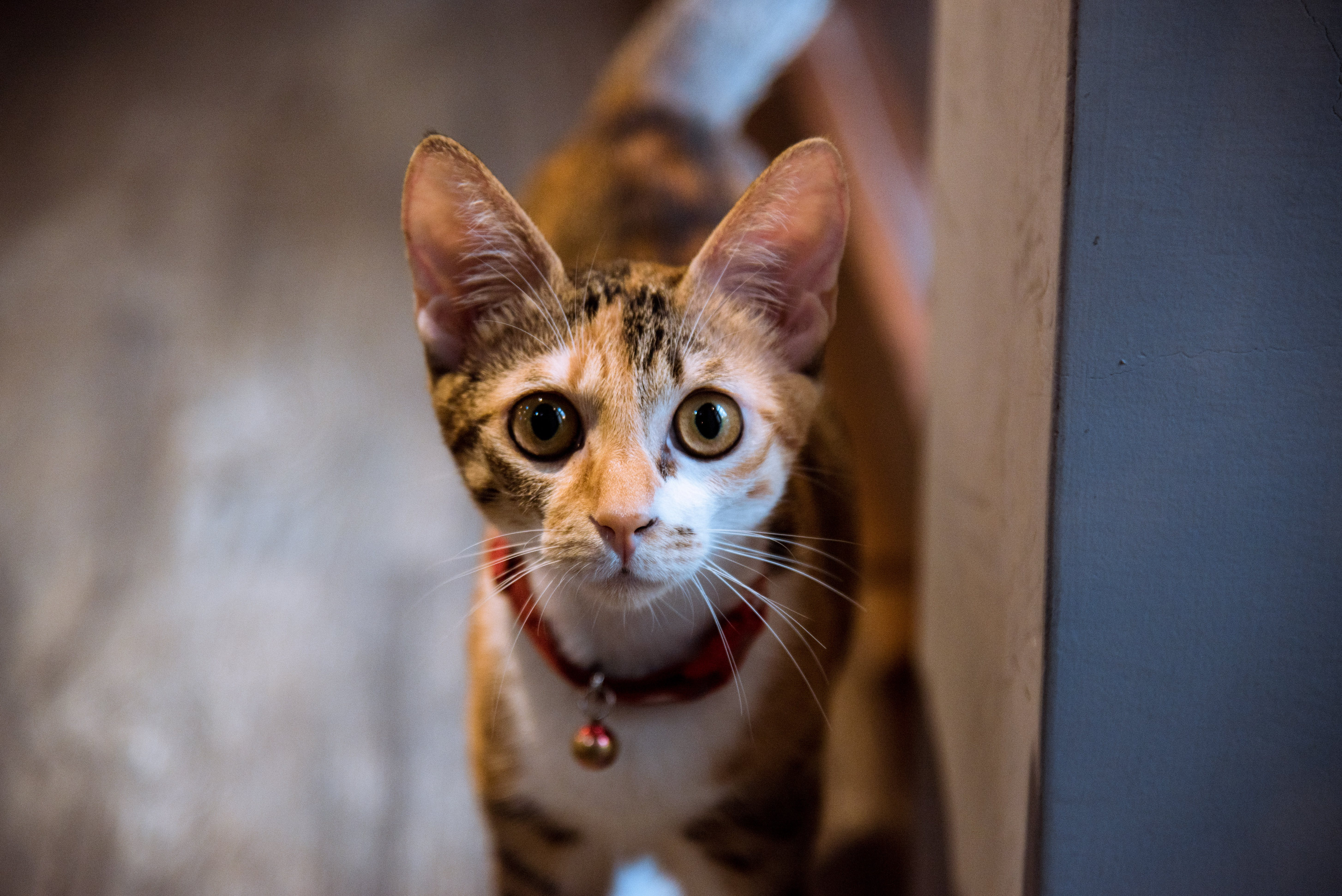 Closeup Photography of Brown Tabby Cat With Bell on Neck