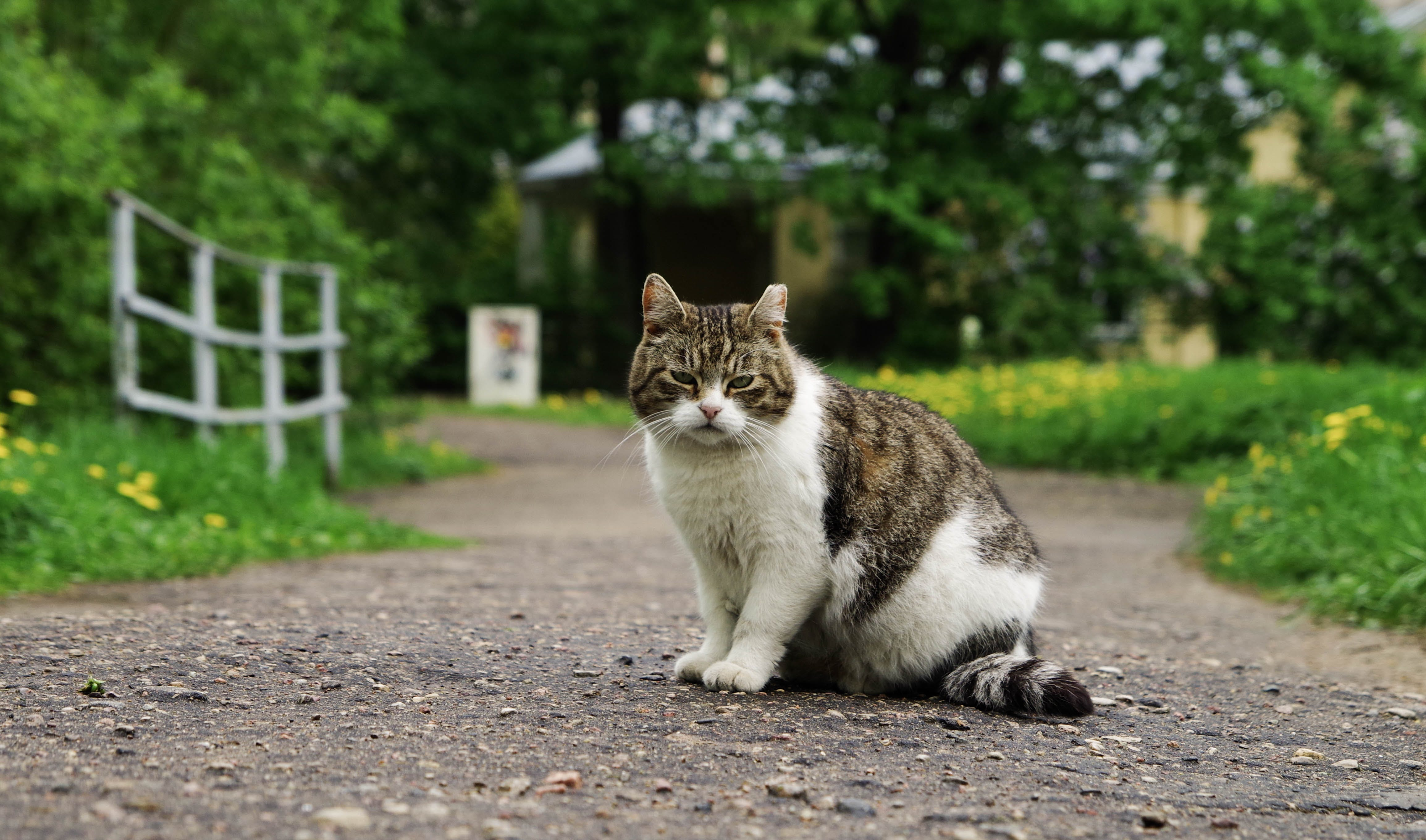 White and Brown Cat Between Path