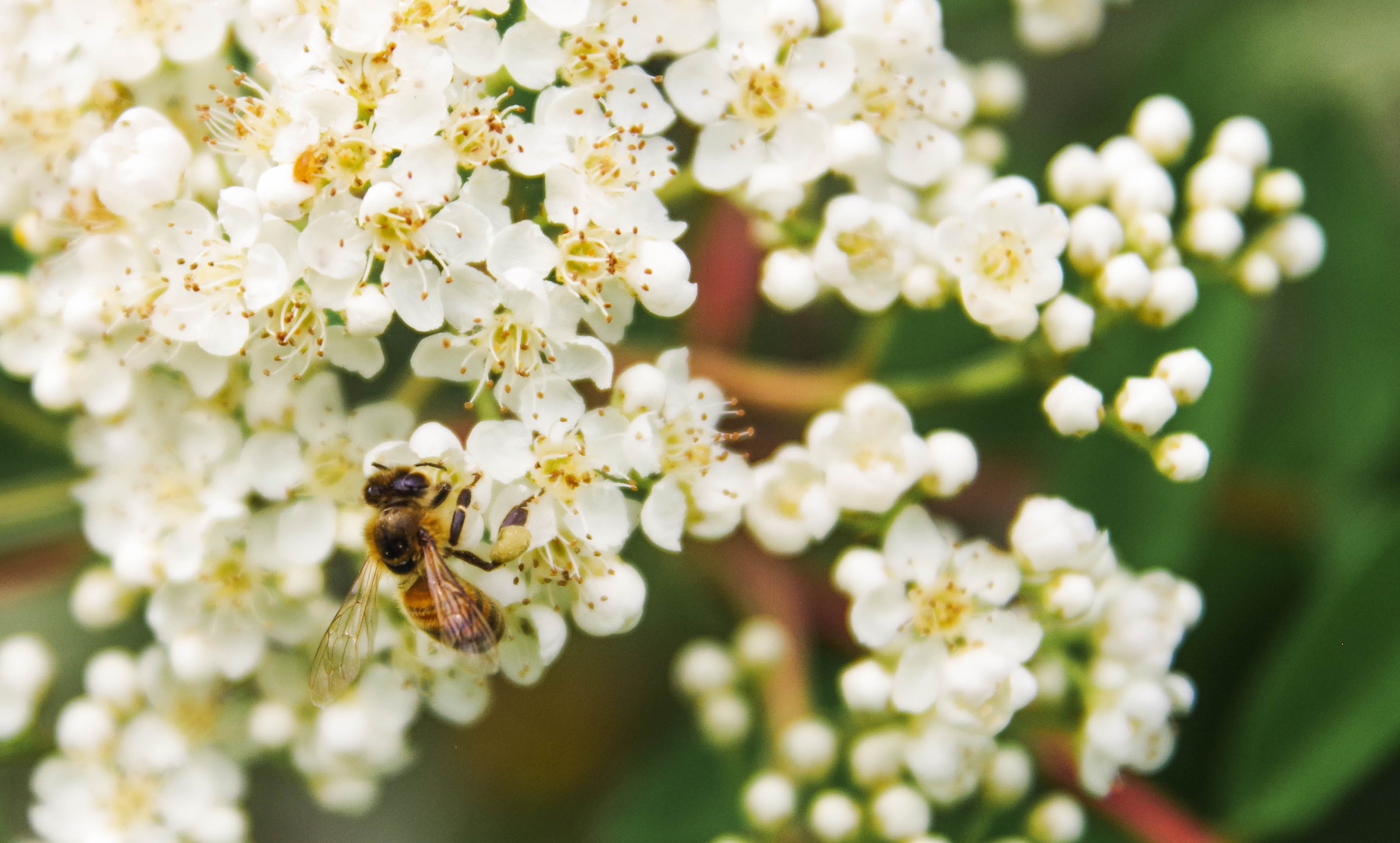 Tilt Shift Lens Photography of Bee on White Flower