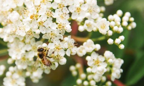 Kostnadsfri bild av bi, blommor, blomning, djur