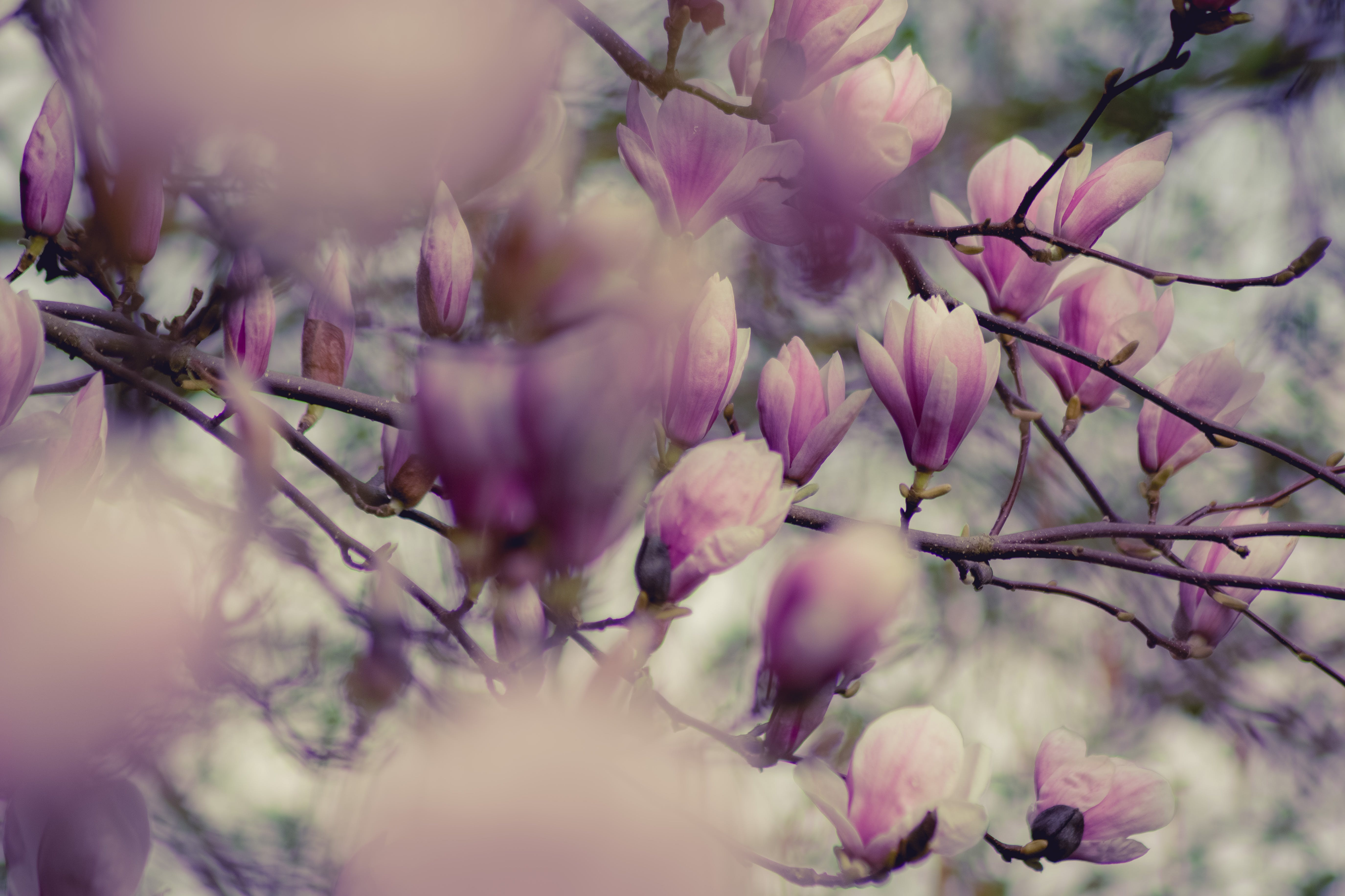 Close-up Photography of Magnolia Flowers
