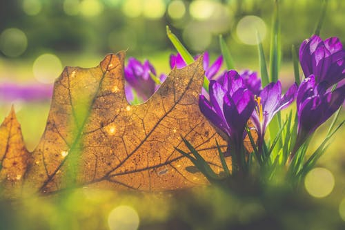 Free stock photo of crocus, nature, purple, summer