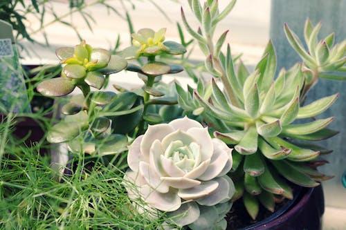 Безкоштовне стокове фото на тему «ботанічний, вродлива, горщик, дозрівання»