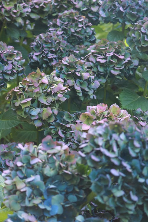 Blooming green and violet petals of hydrangea growing in spherical inflorescences making lush bushes in sunlight