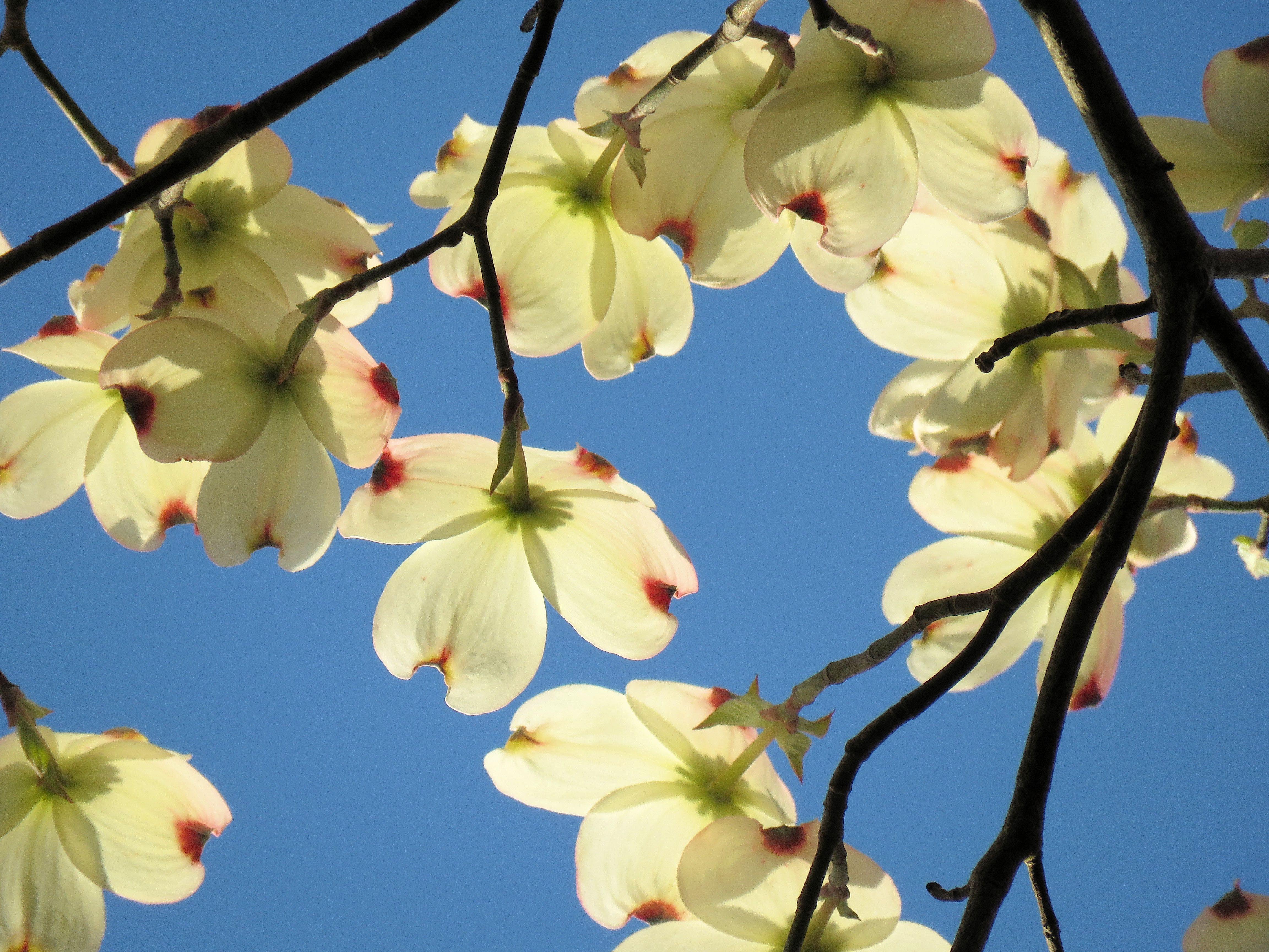 Free stock photo of flowers, spring, blue sky, dogwood