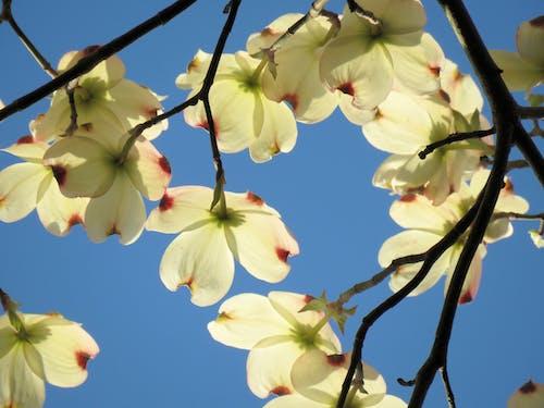 Fotos de stock gratuitas de cielo azul, flores, madera del perro, ozarks