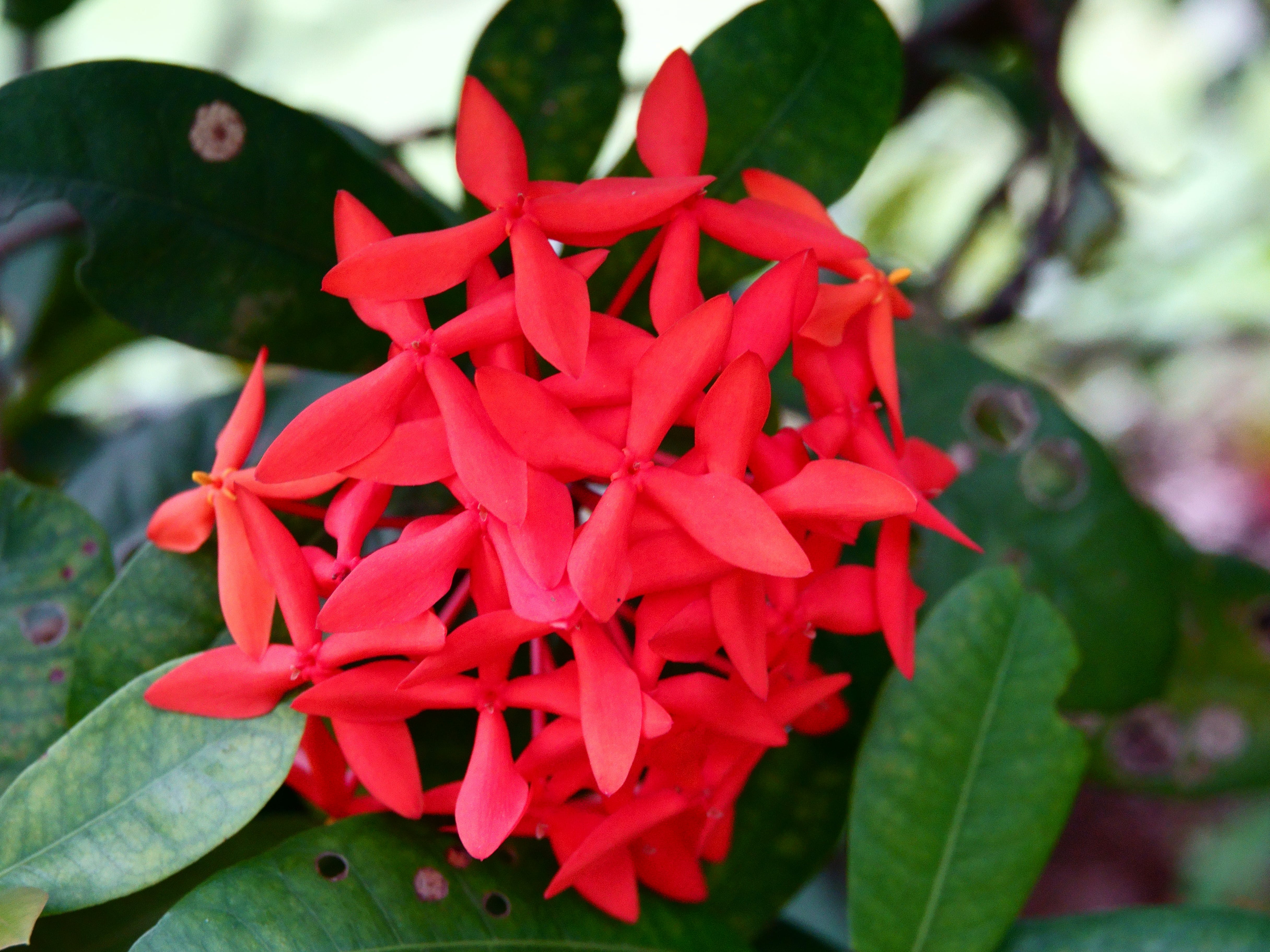 Free stock photo of beautiful flowers, indonesia, red flowers, tripical flowers