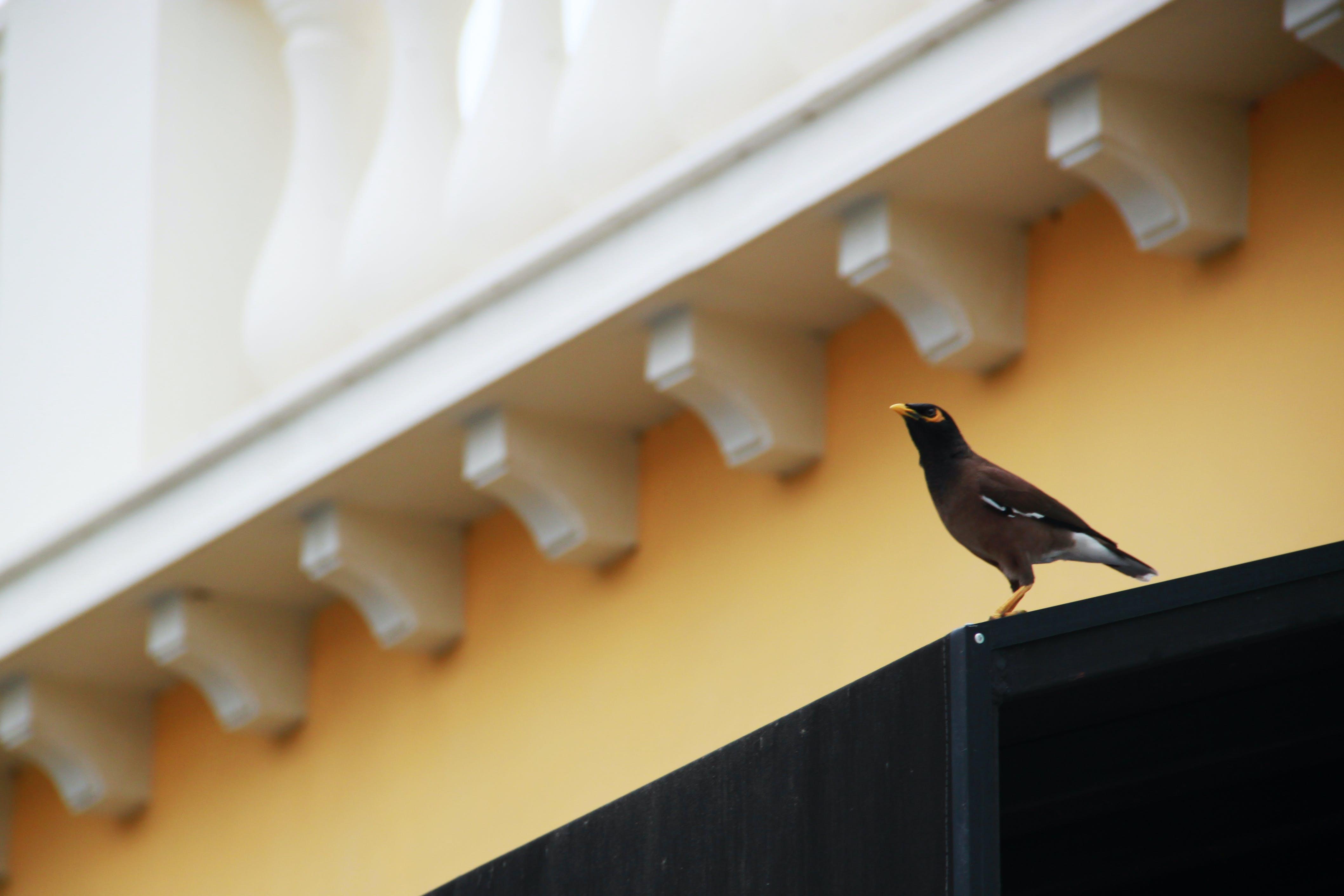 Free stock photo of acridotheres, act, alone, bird