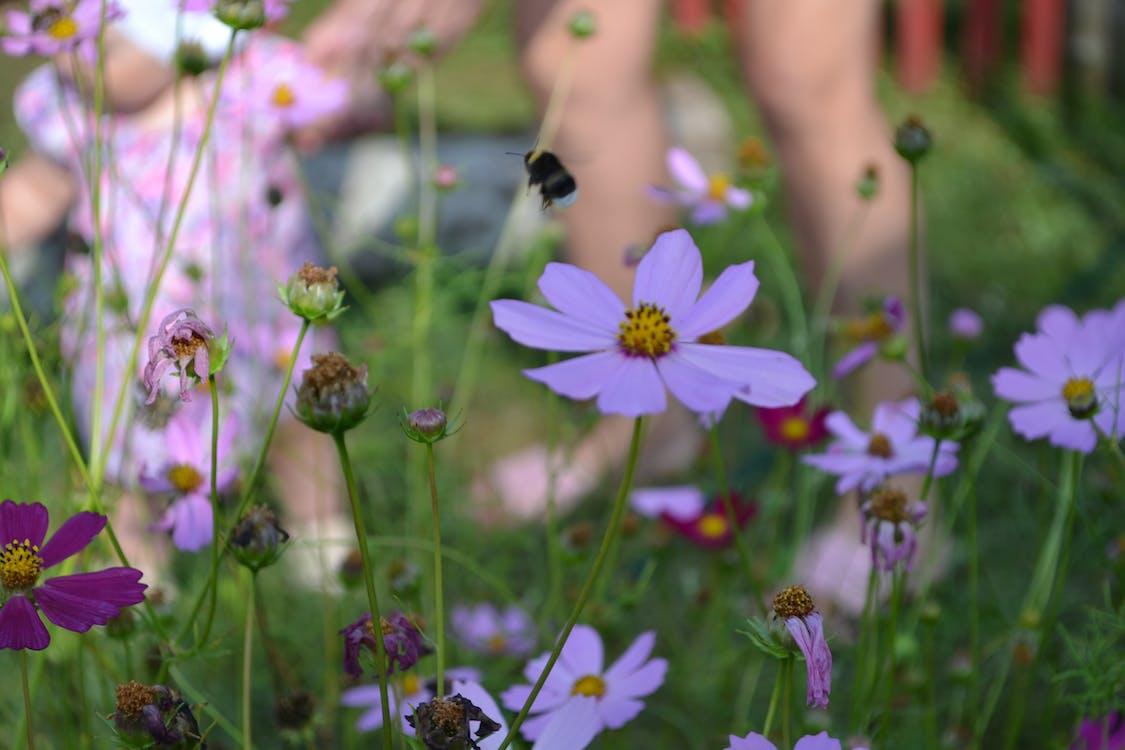 Free stock photo of bumblebee, child, flowers