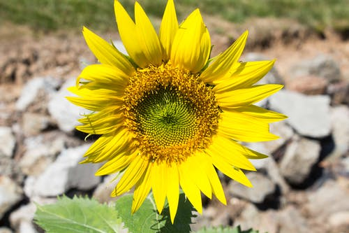 Free stock photo of flower, sun flower, weed, yellow flower