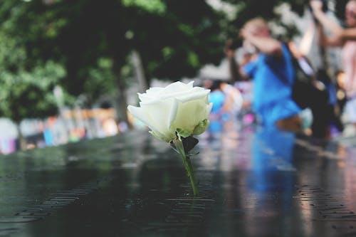 白玫瑰, 白色的花 的 免费素材照片