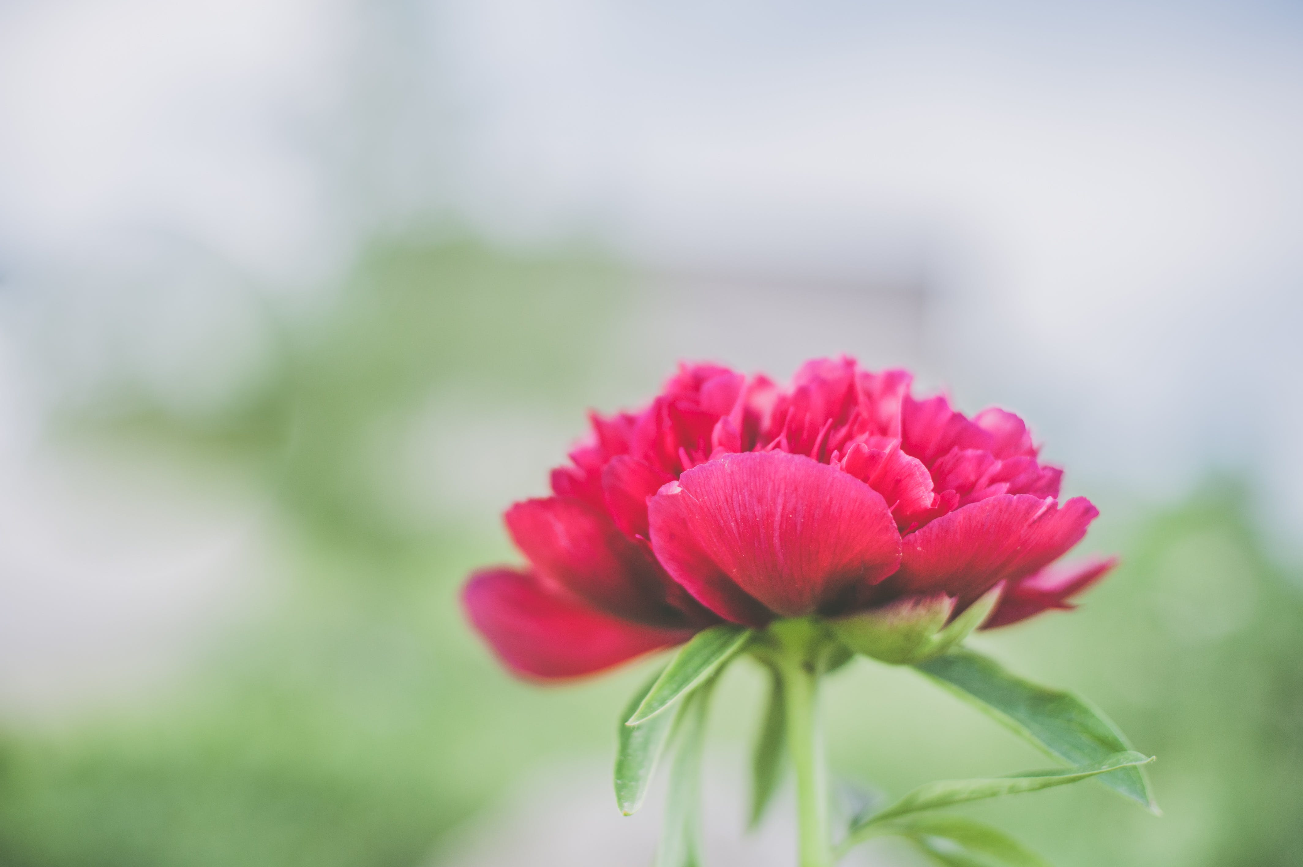 Shallow Focus Photography Red Petaled Flower