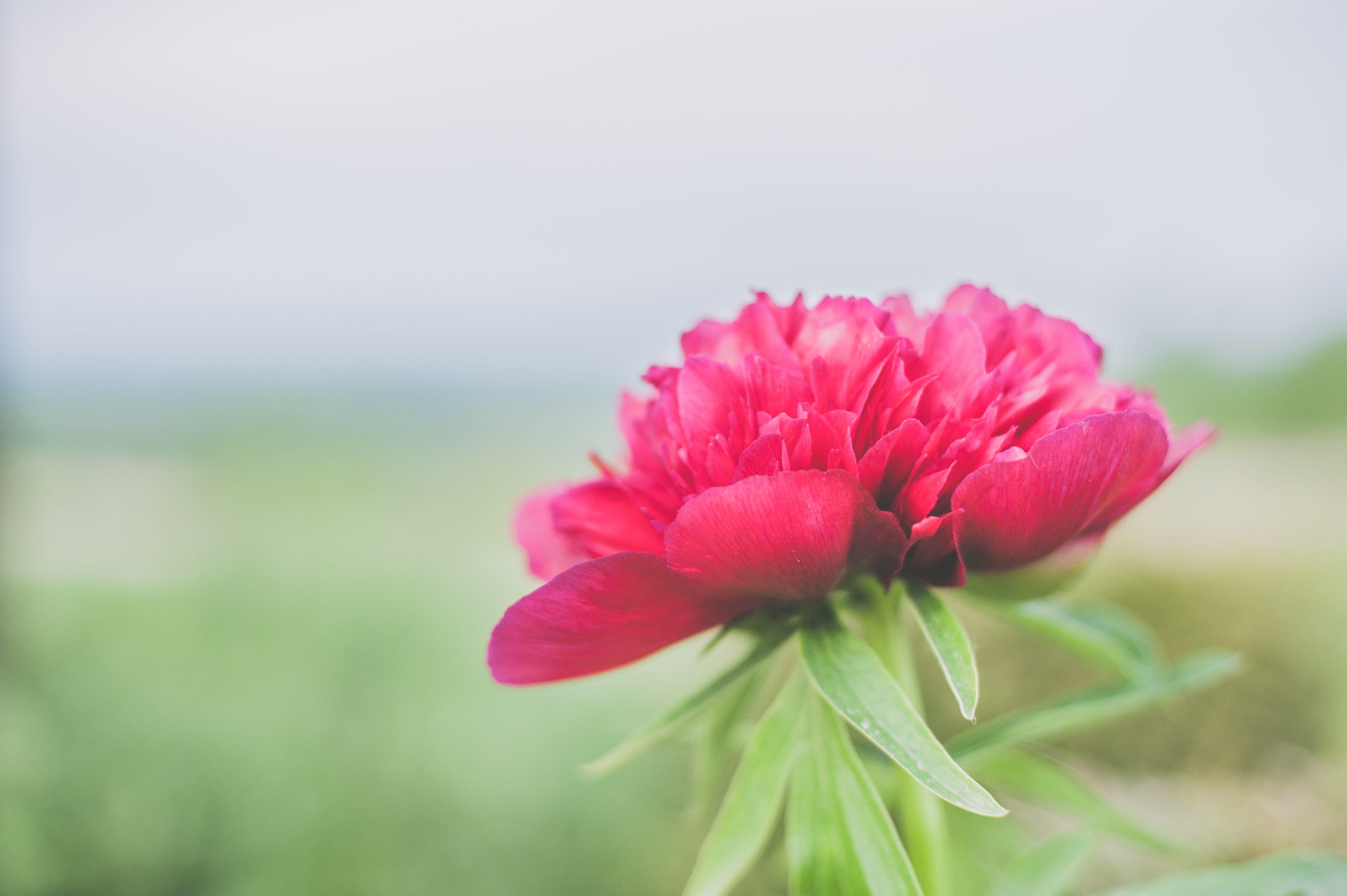Kostenloses Stock Foto zu blühen, blume, blütenblätter, hübsch