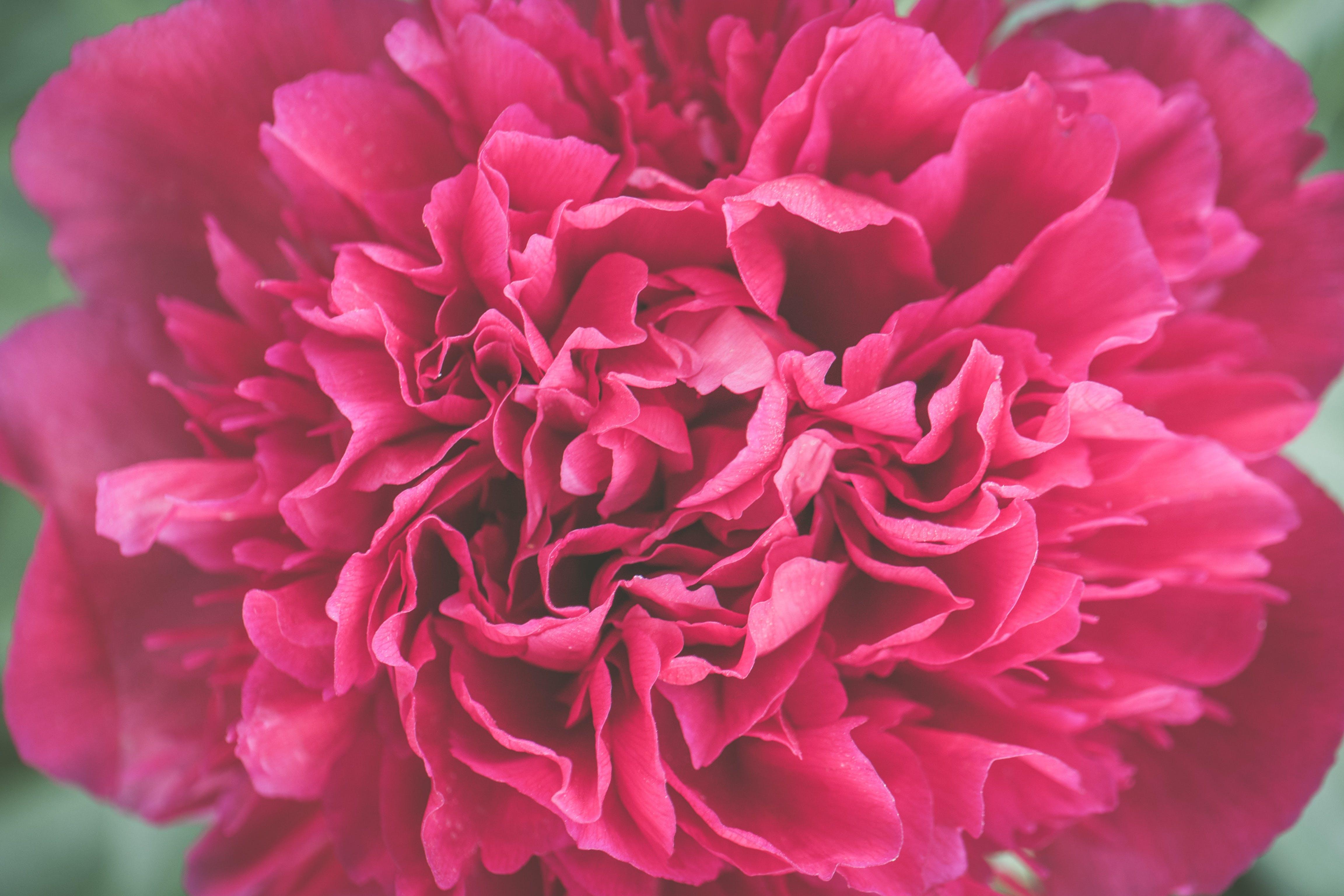 Kostenloses Stock Foto zu blume, blütenblatt, hübsch, makro