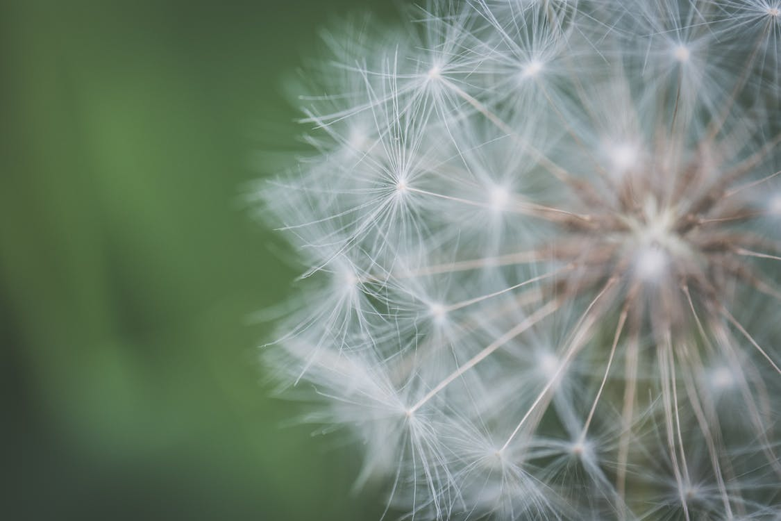 Closeup Photo of White Dandelion