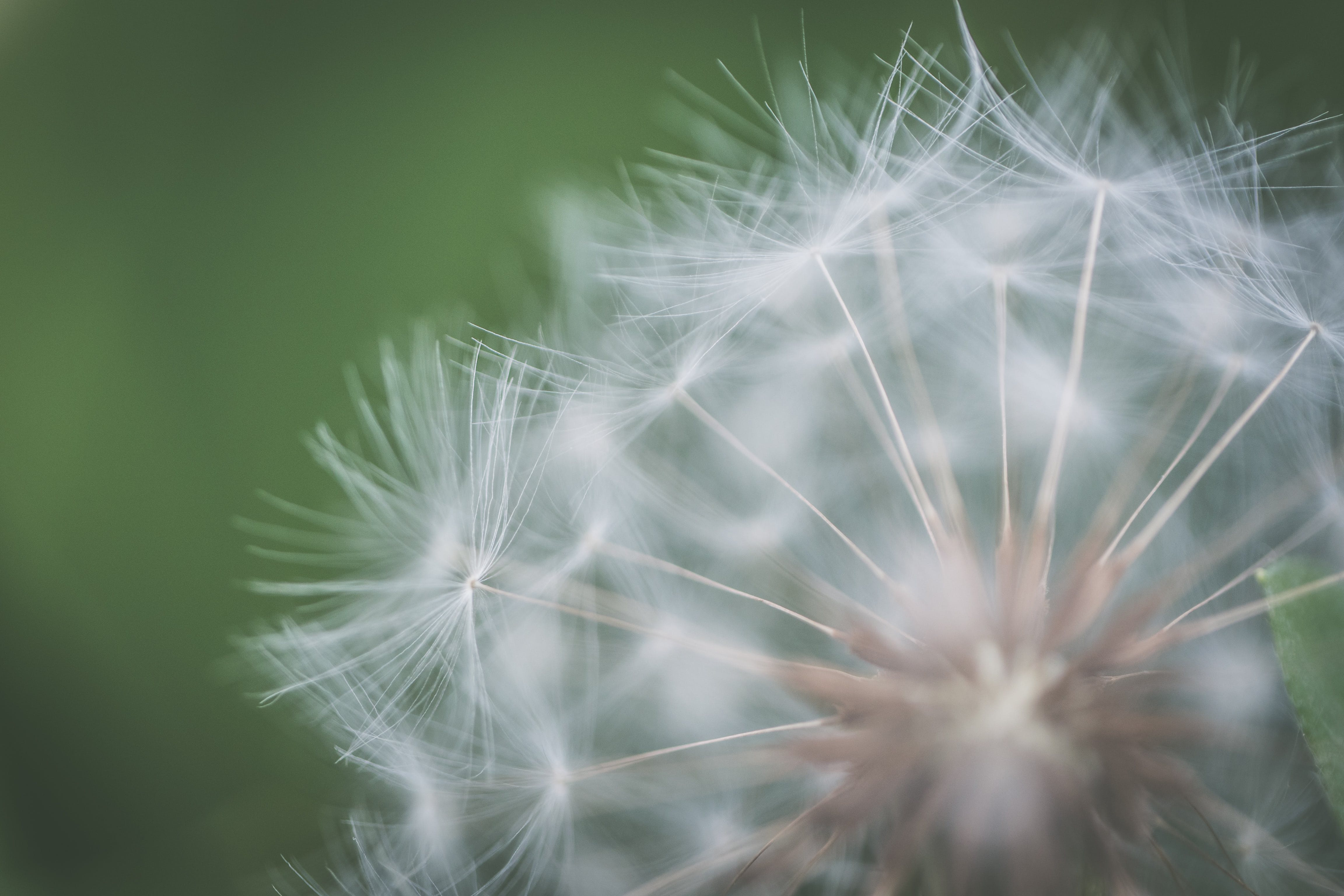 Shallow Focus Photography of Dandelion